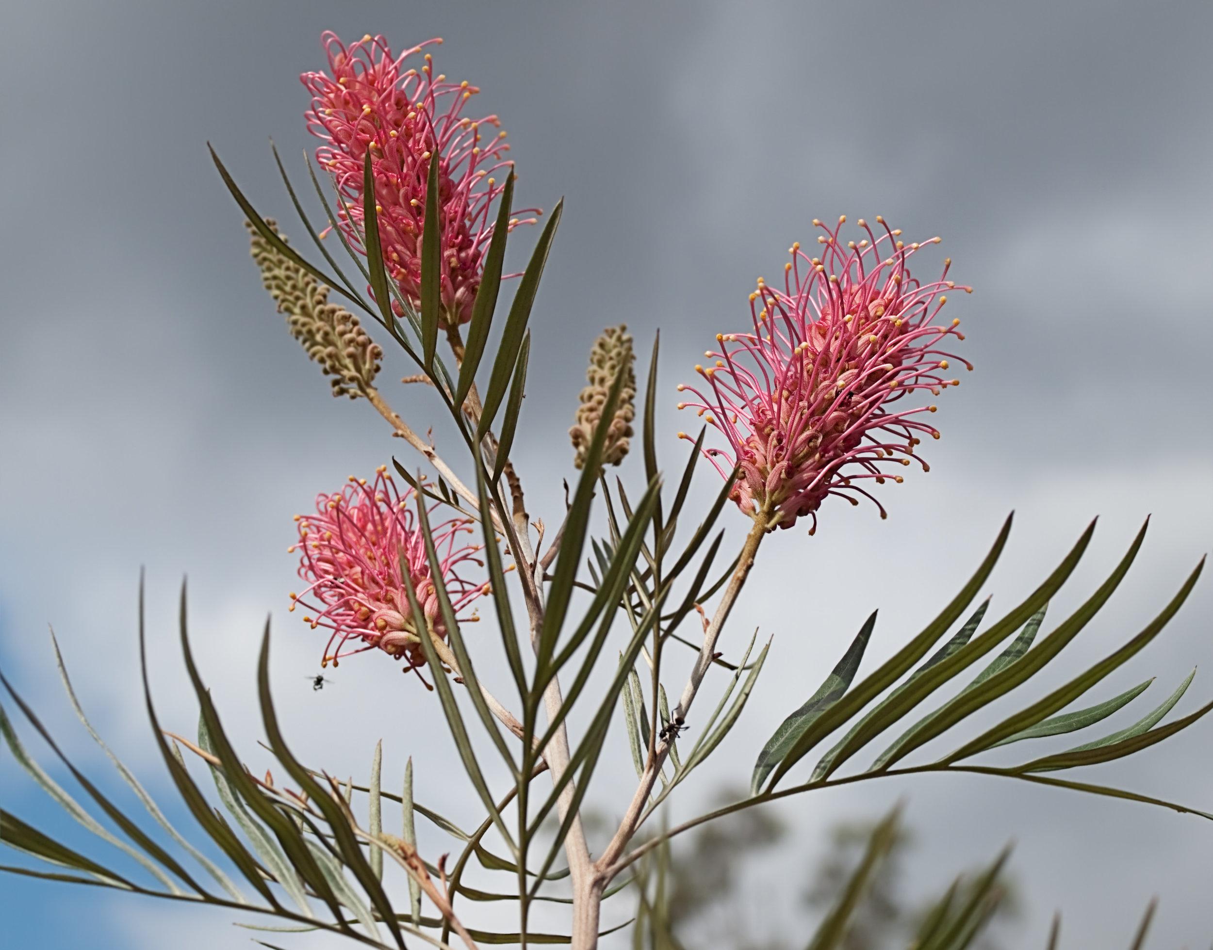 australian.bush.flower.jpg