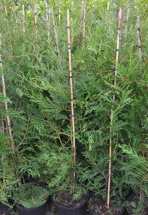 Conifer/Evergreen - Spacing depends on intended ultimate height i.e. 180cm (6ft) high = 60cm single row spacing. 300cm (10ft) high = 120cm (4ft) single row spacing. xCupressocyparis leylandii (Leyland cypress) make an excellent uniform hedge if regularly maintained; Thuja (Western Red Cedar) quickly forms a good dense evergreen hedge. Taxus baccata (Yew) should only be planted where the drainage is good and the plants cannot become waterlogged. Special care should be taken not to over water especially on heavy soils.