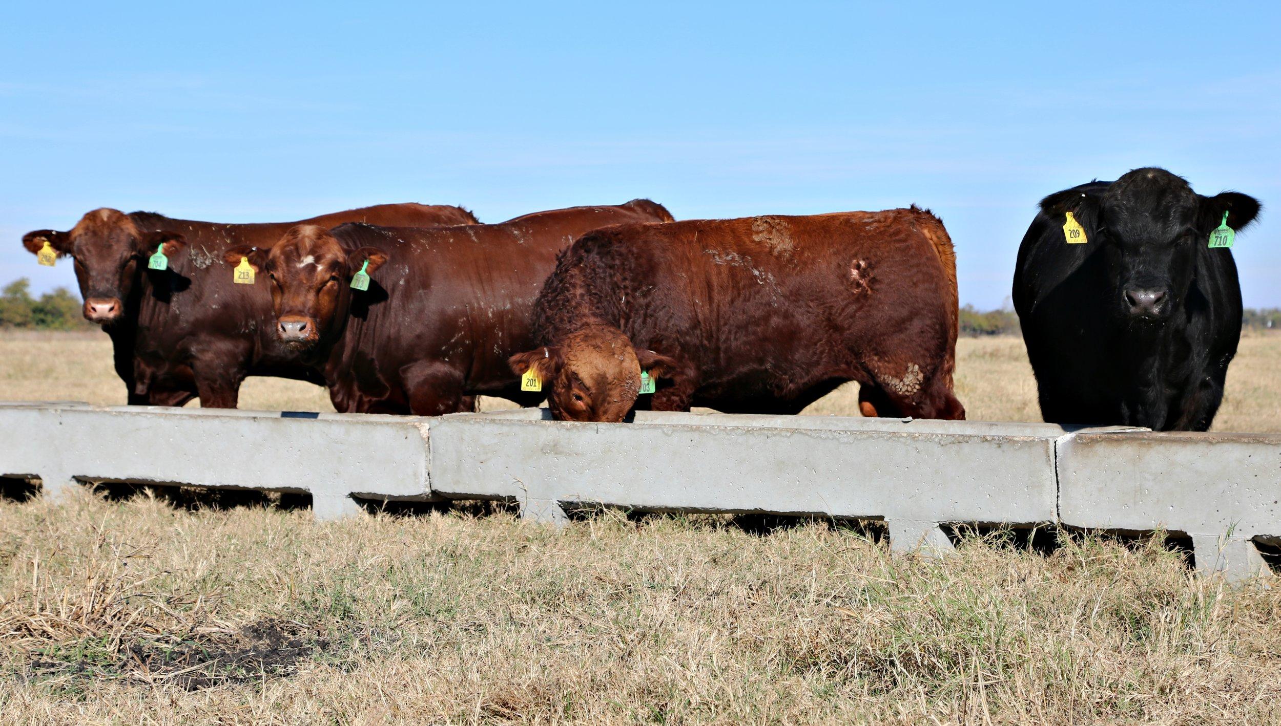 Bulls at feeder.jpg