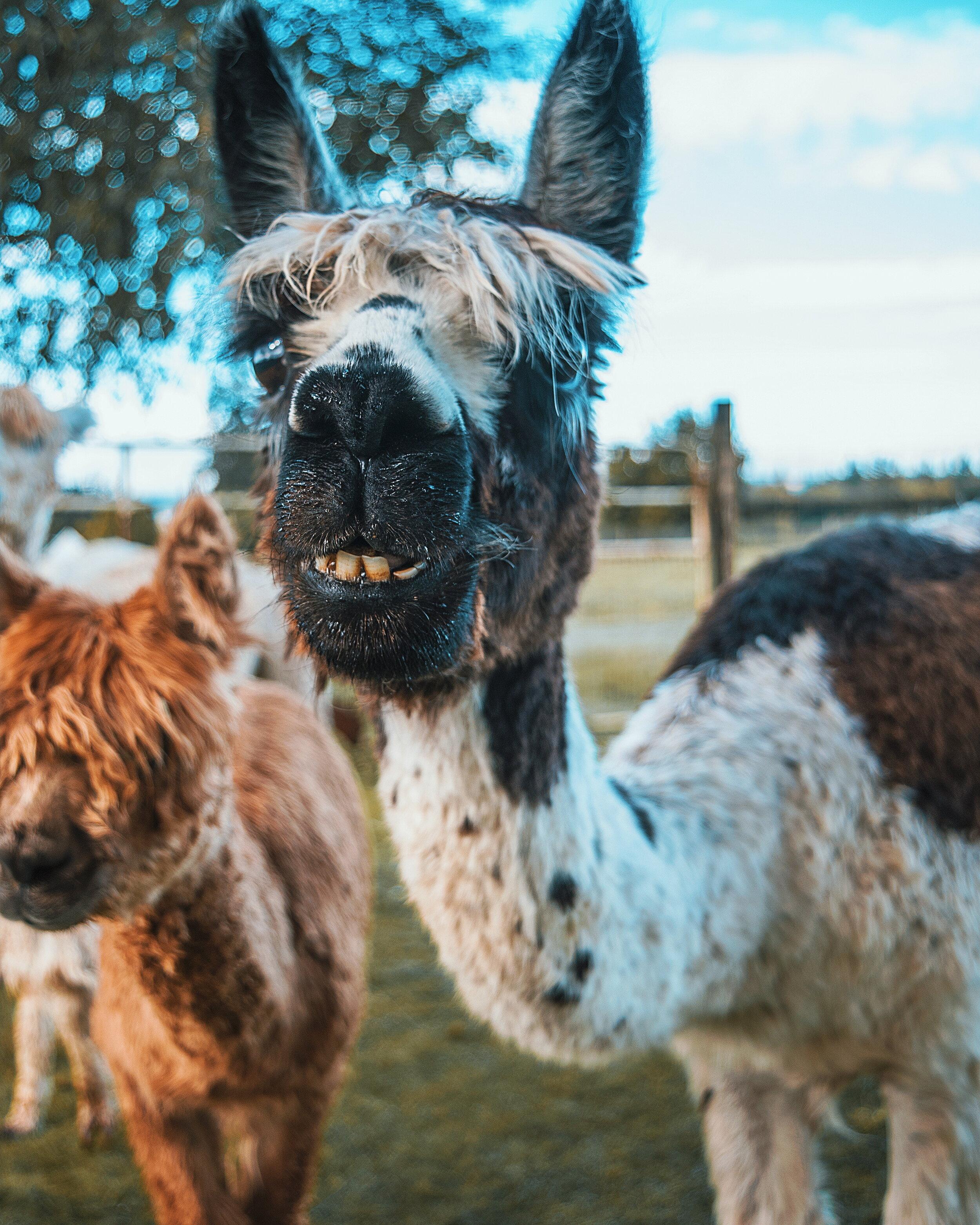 Oregon Alpacas_WithChelle.jpg