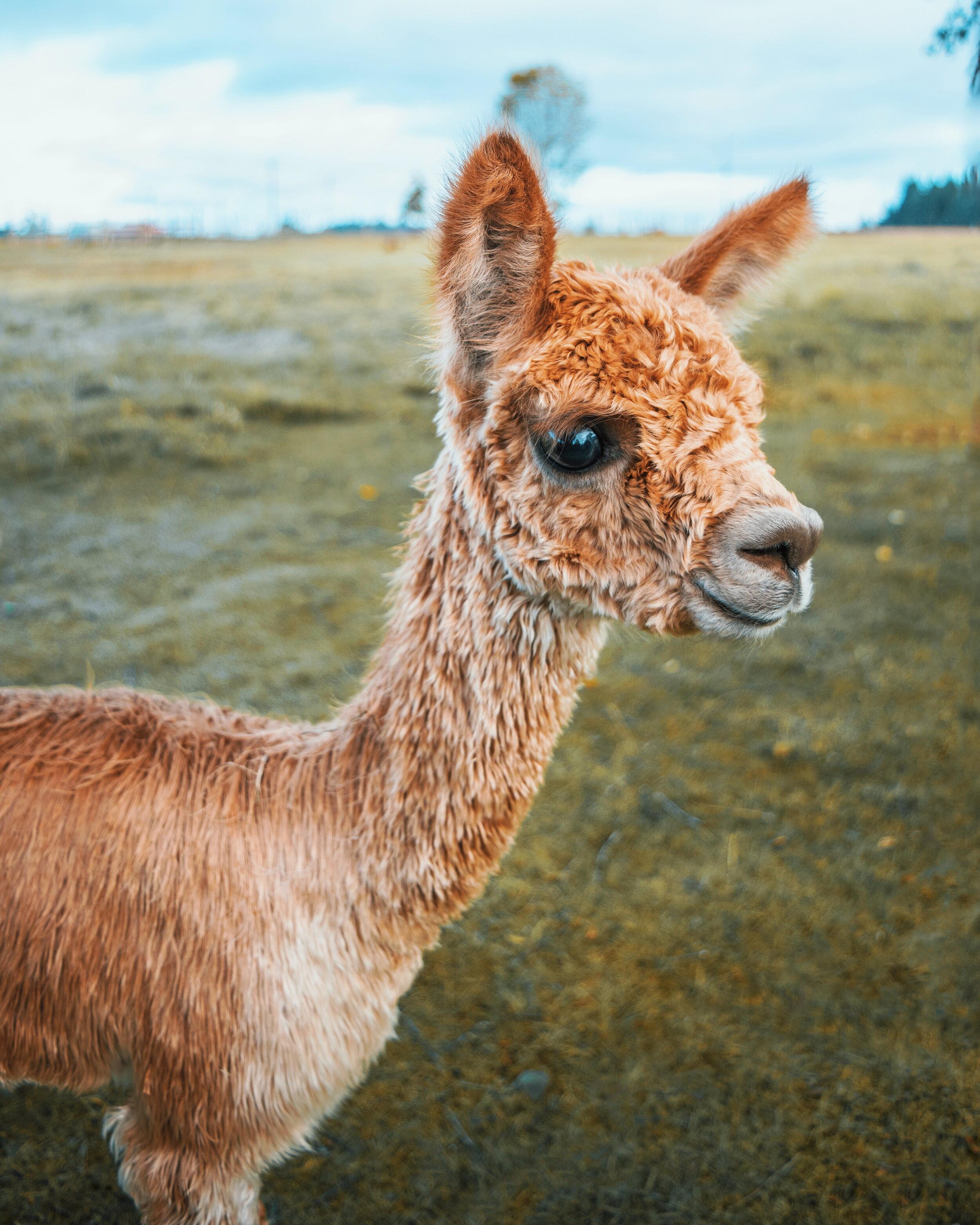 Alpaca Farm_WithChelle.jpg