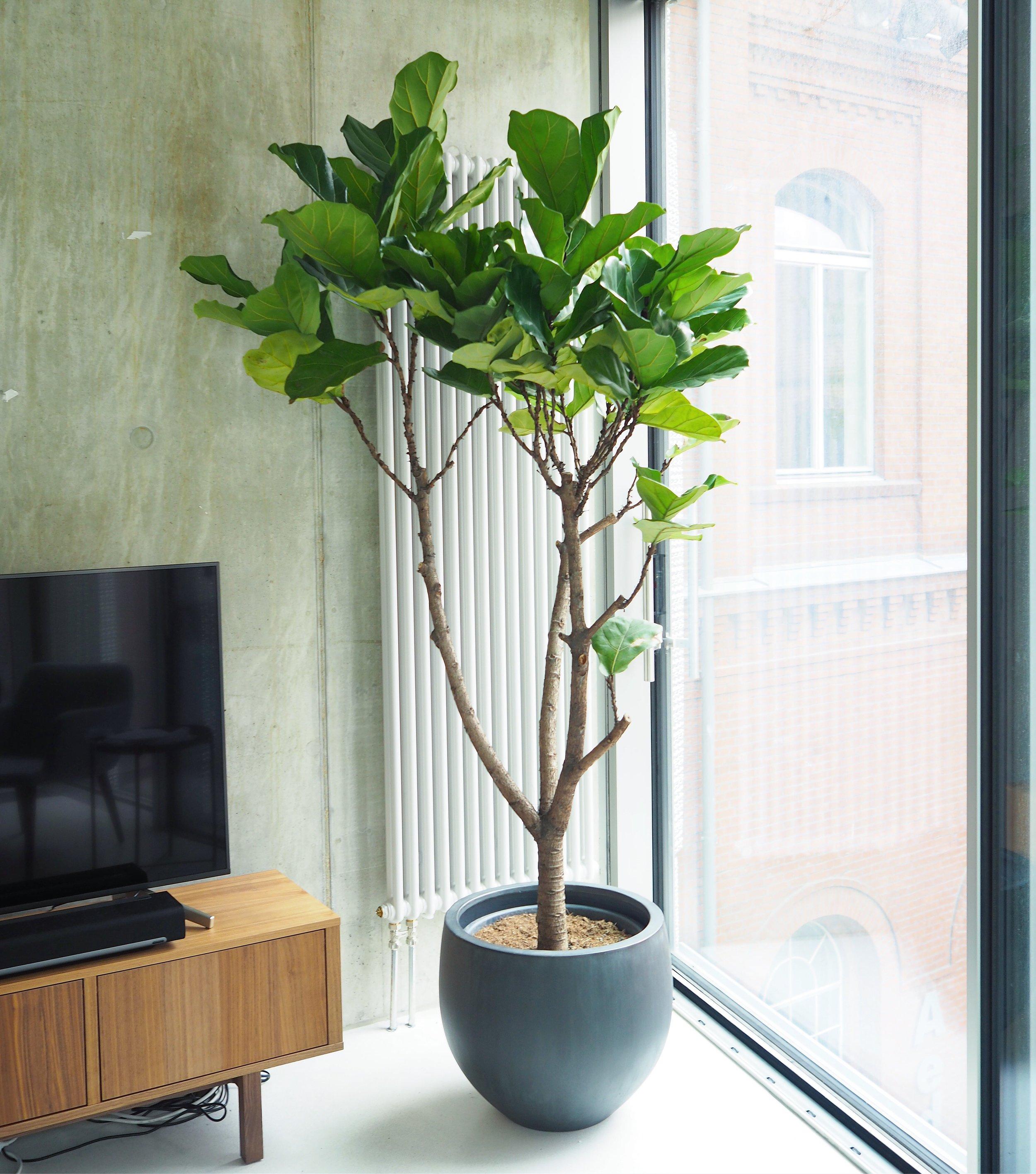 2M FICUS LYRATA TREE
