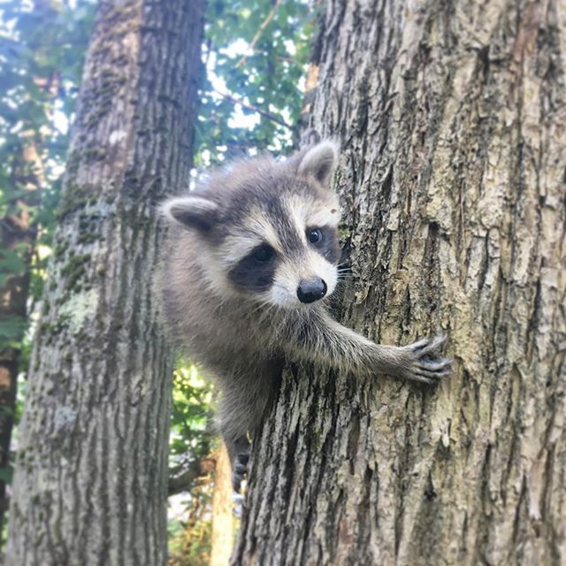 Does this esponsis (baby raccoon) even need a caption? 😍