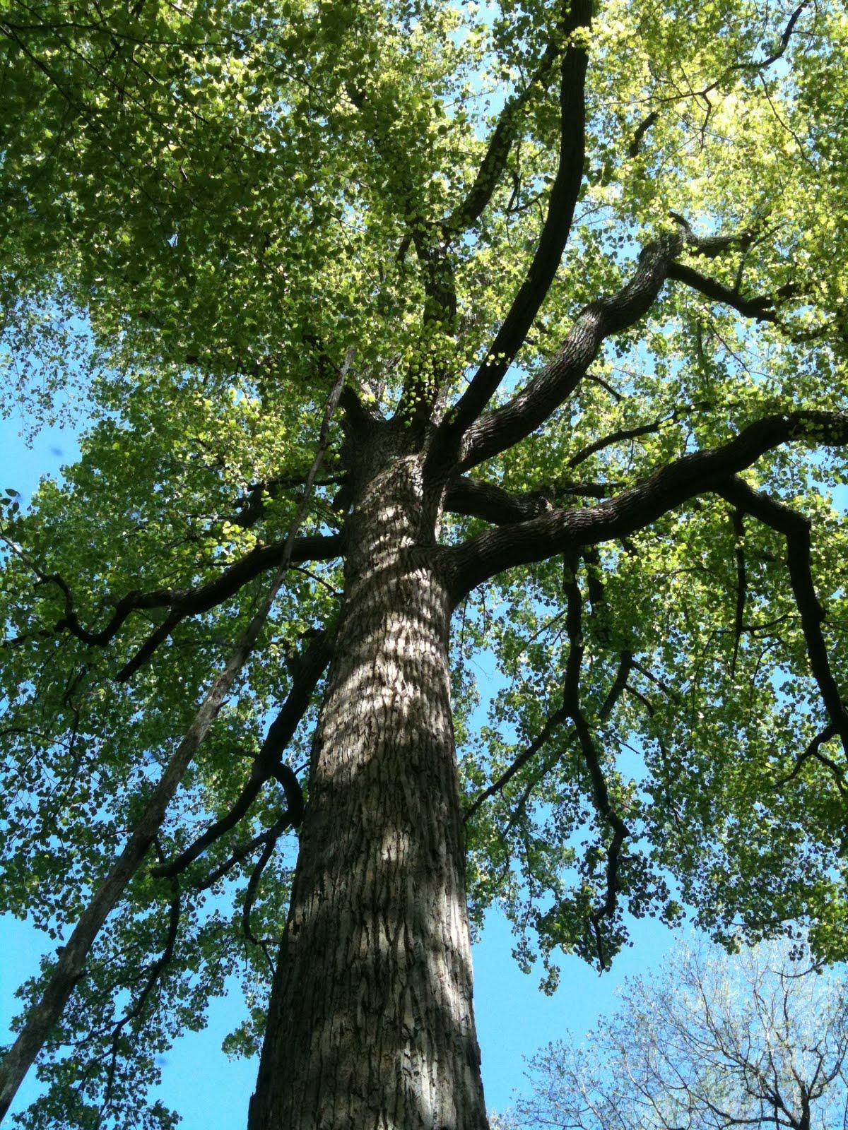 5-13-11 004 Oak at Eno Marsh.jpg