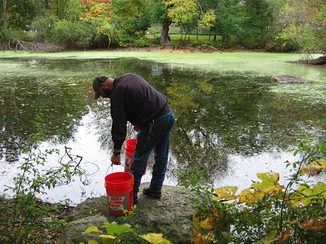 Rowledge Pond Aquaculture staff releasing Grass Carp in to the pond which is overgrown with vegetation