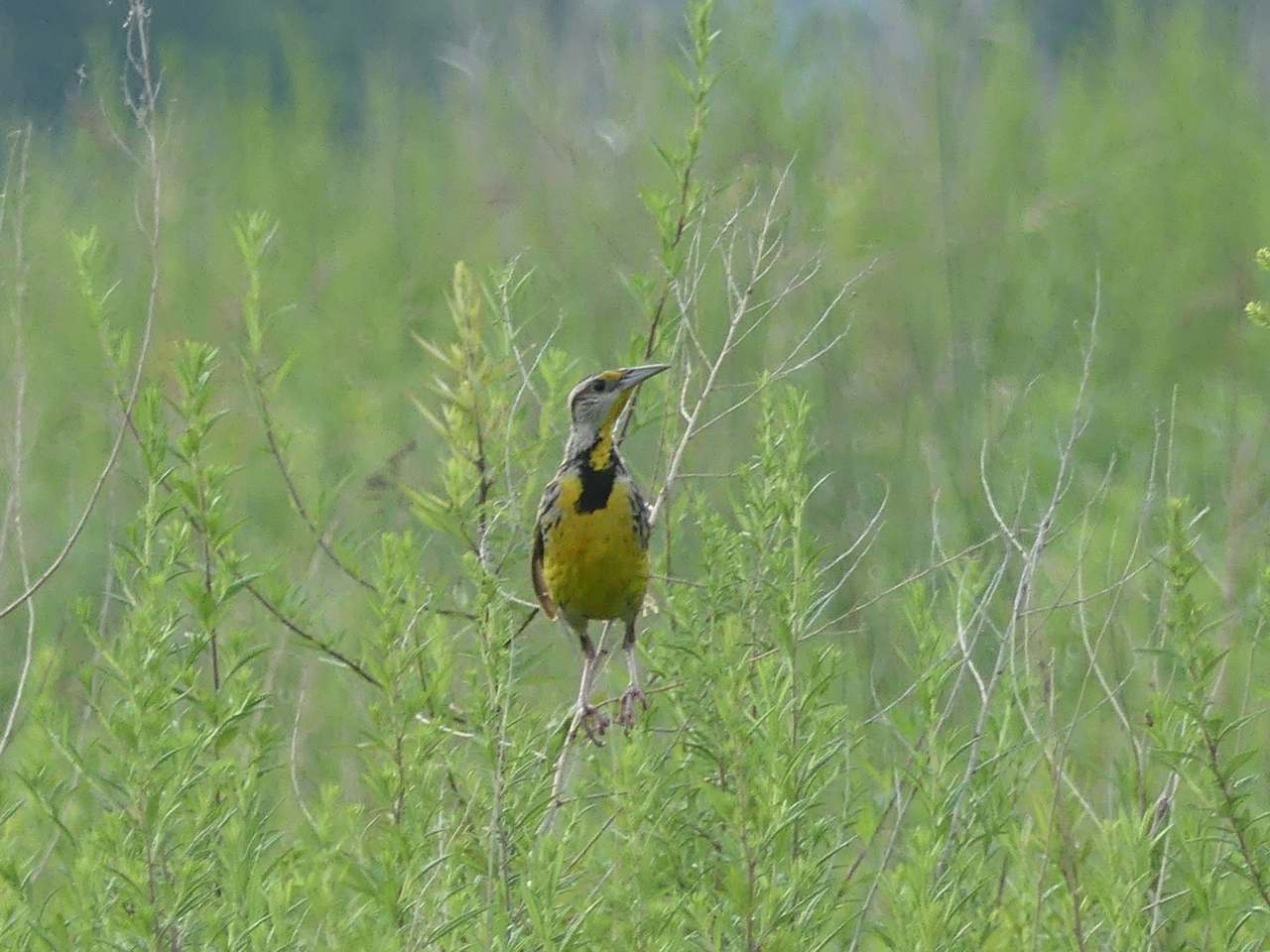 Photo Credit: Karalyn Lamb Above, the Eastern Meadowlark in nature. This is a species of concern due to general land use practices.