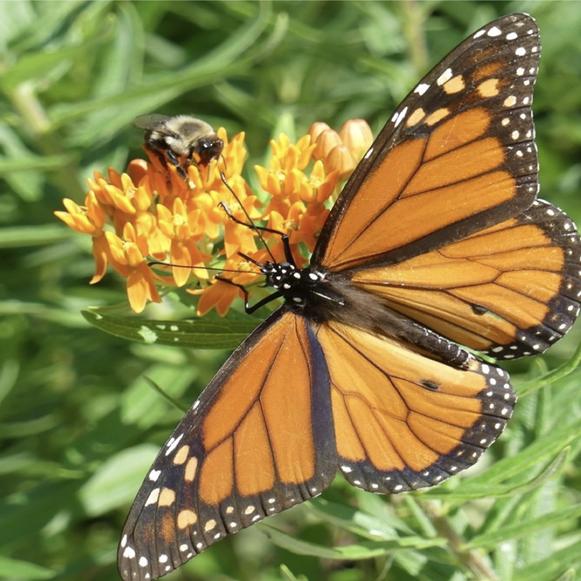 Plant Native Plants - The loss of native plants has a direct impact on the declining populations of our native wildlife and insects, including pollinators. We can reverse this trend by planting native plants!View FactsheetView Plant Shrub Tree List