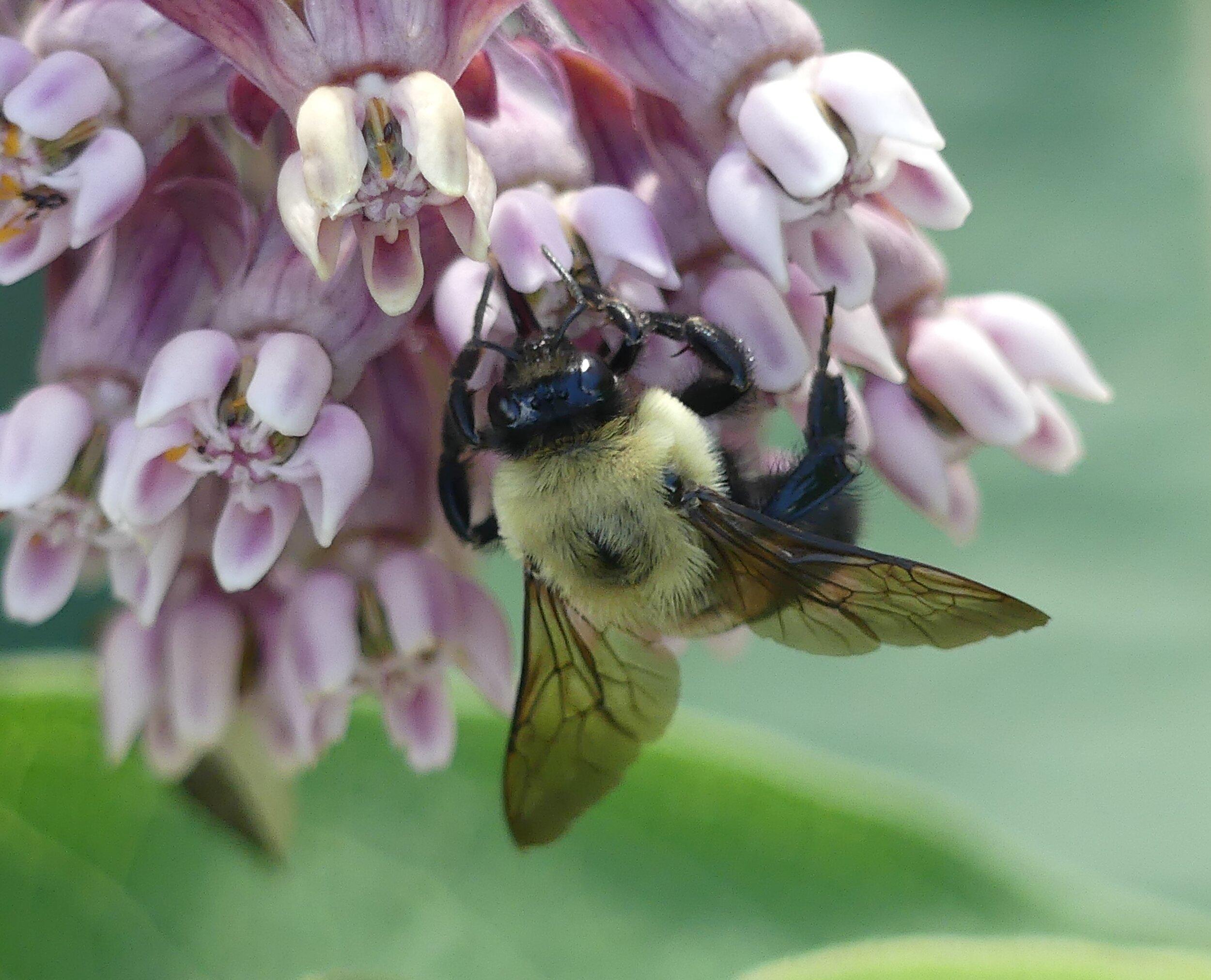 Common milkweed bumble.JPG