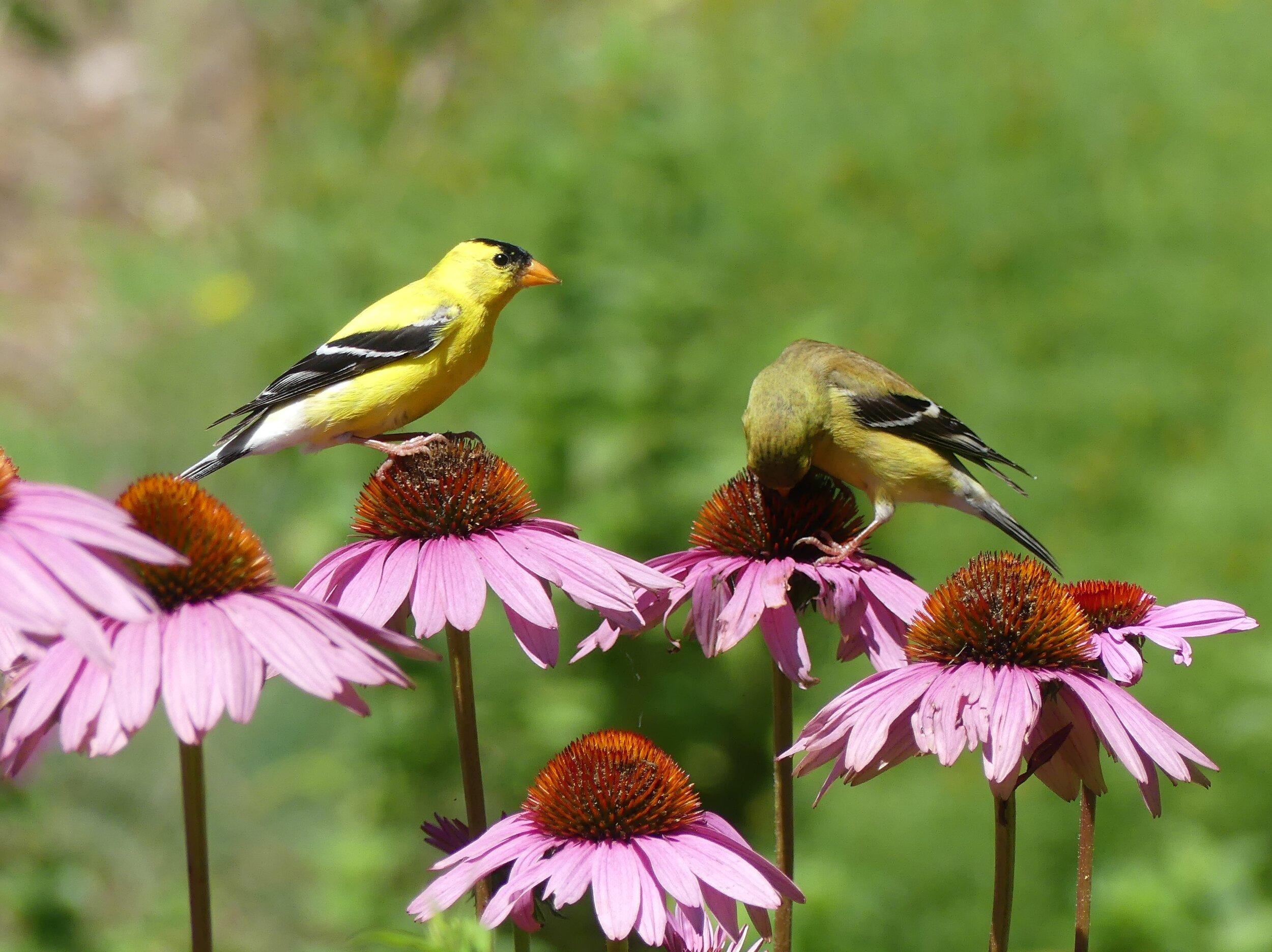 goldfinches coneflower.JPG