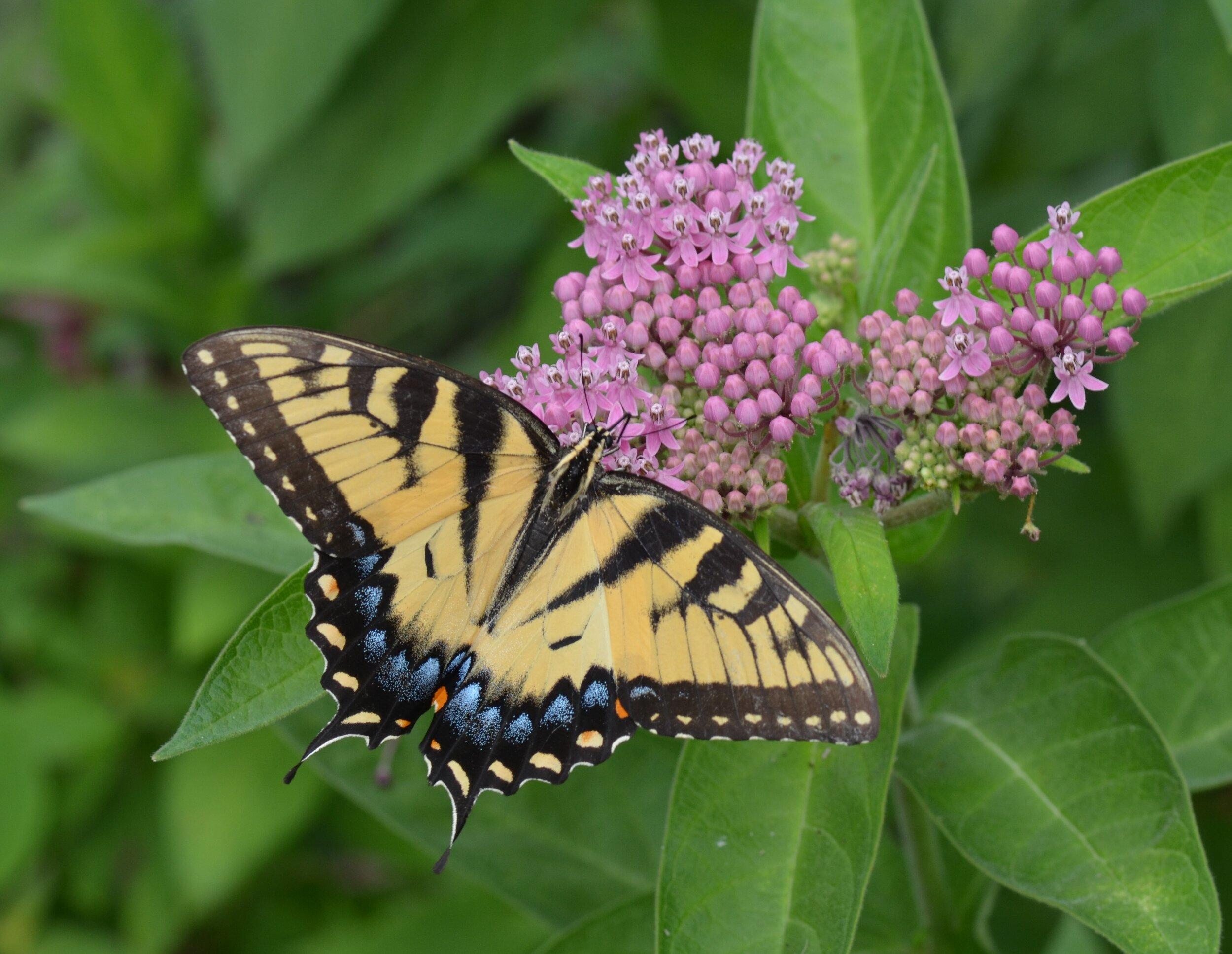 Tiger swallowtail swamp   milkweed.JPG