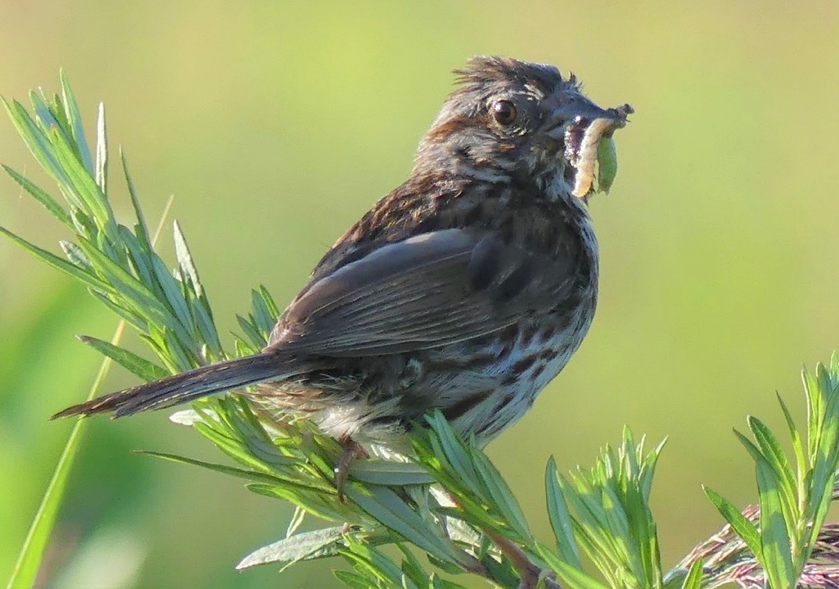 Song Sparrow .png