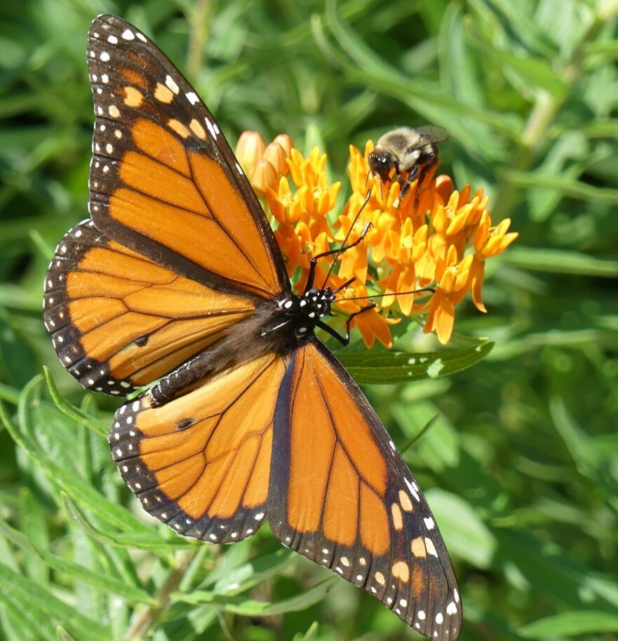 Monarch and bumblebee on    butterflyweed.jpg