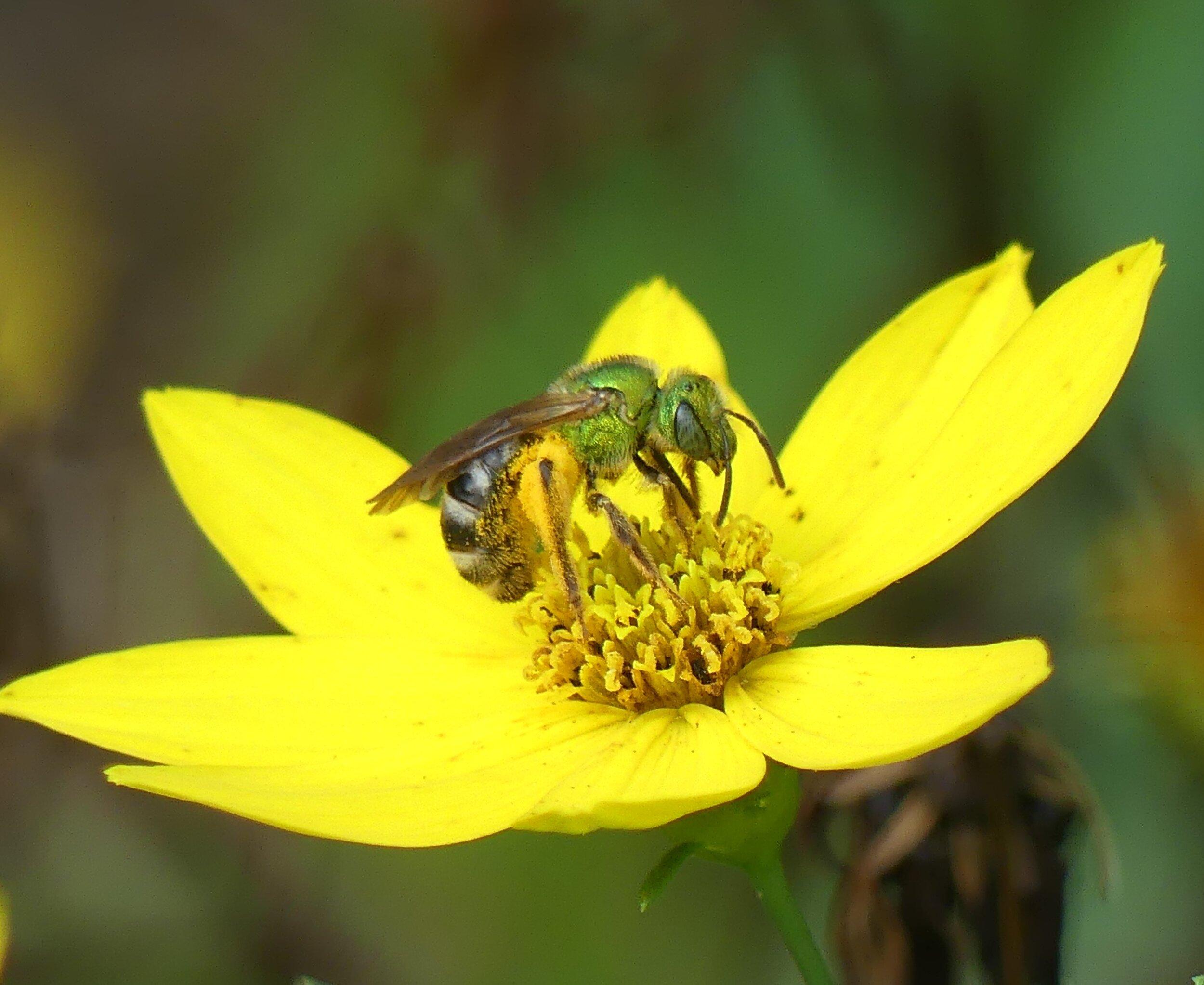 green sweat bee.JPG