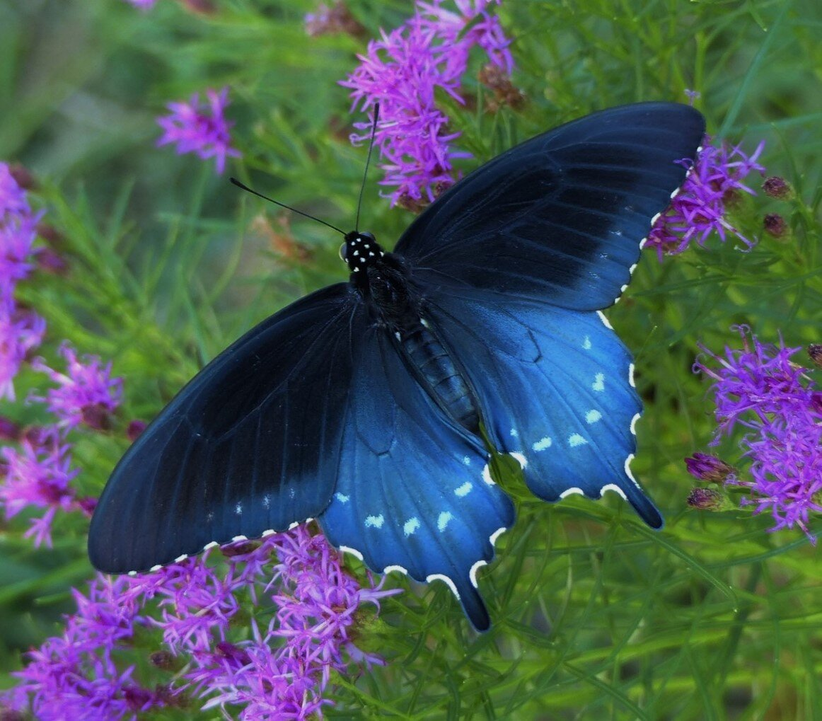 Pipevine swallowtail just    hatched.jpg