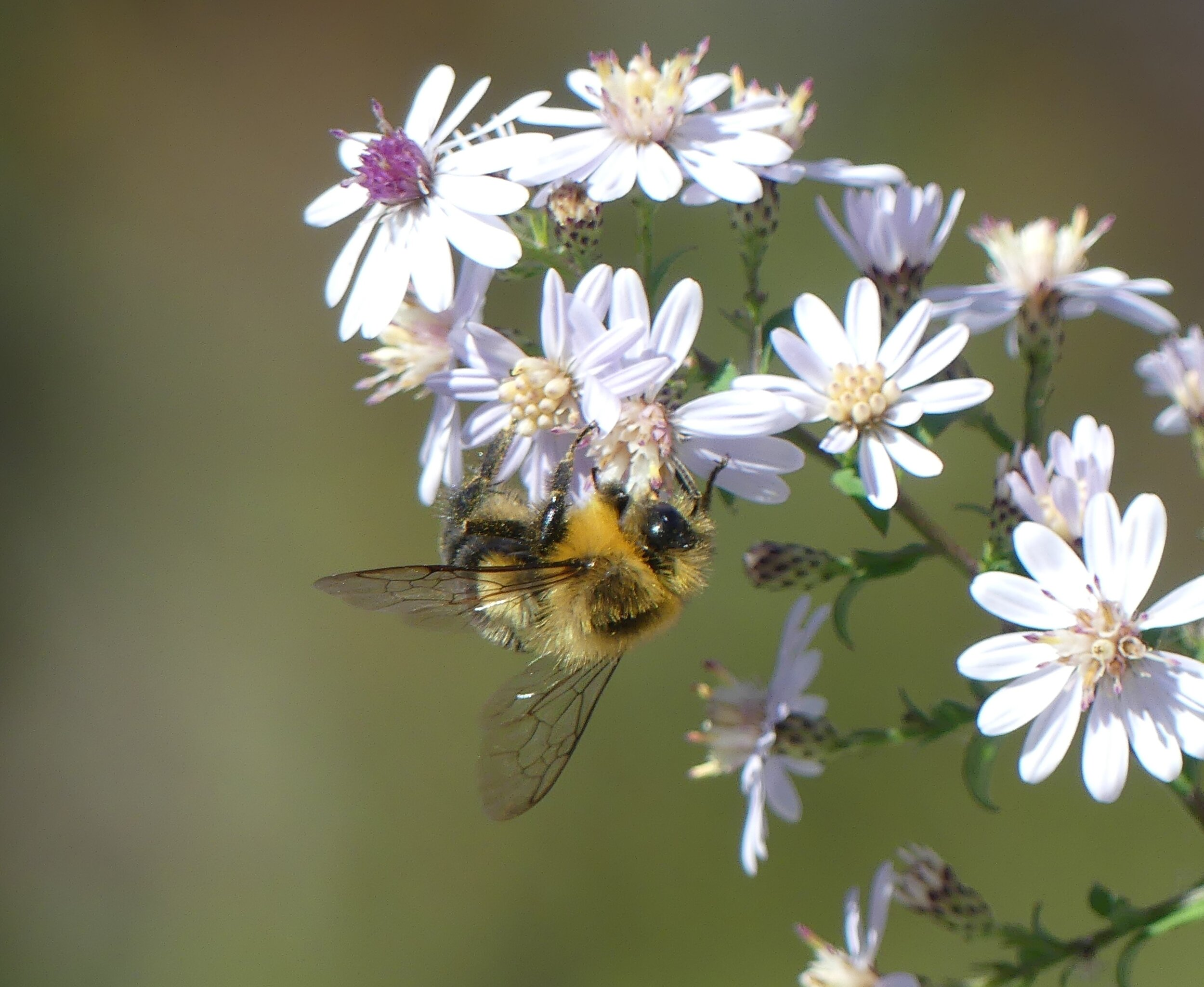 bumble on blue wood aster.JPG