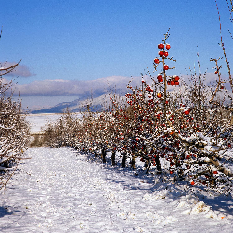 snowy apples.jpg