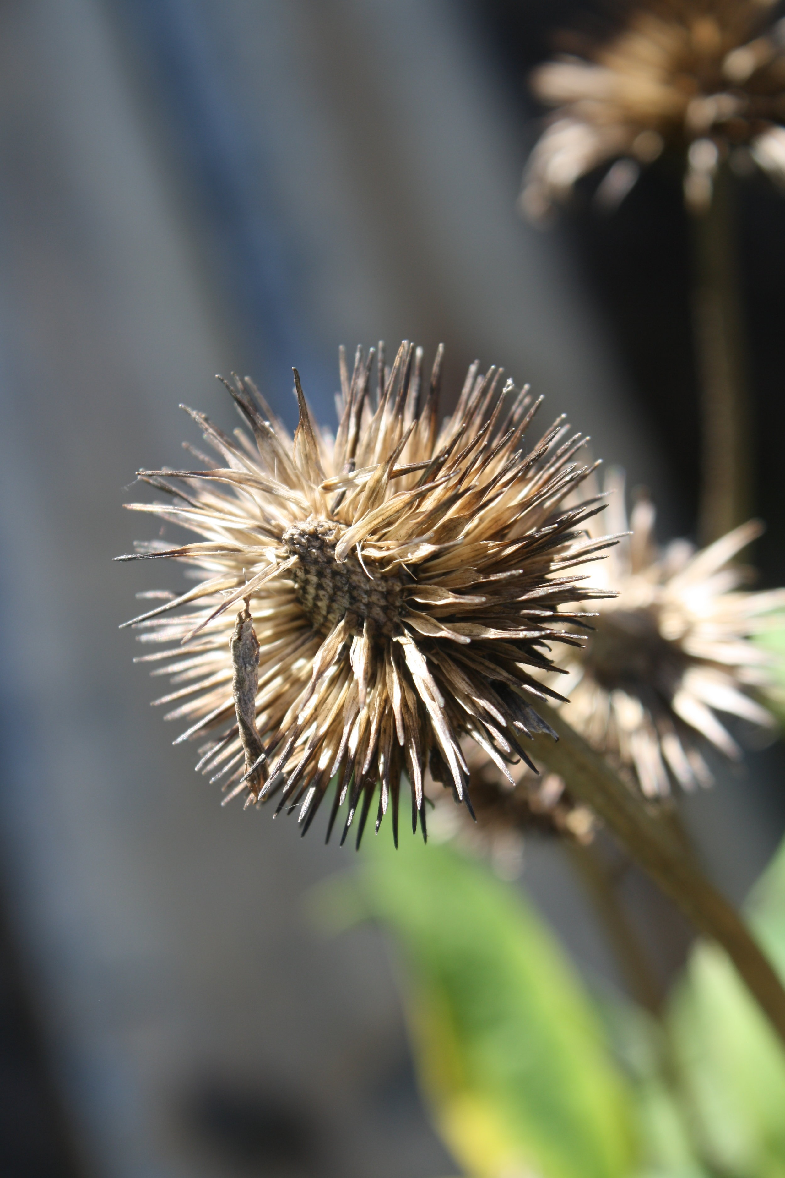 Dried Echinacea Cone of seeds.
