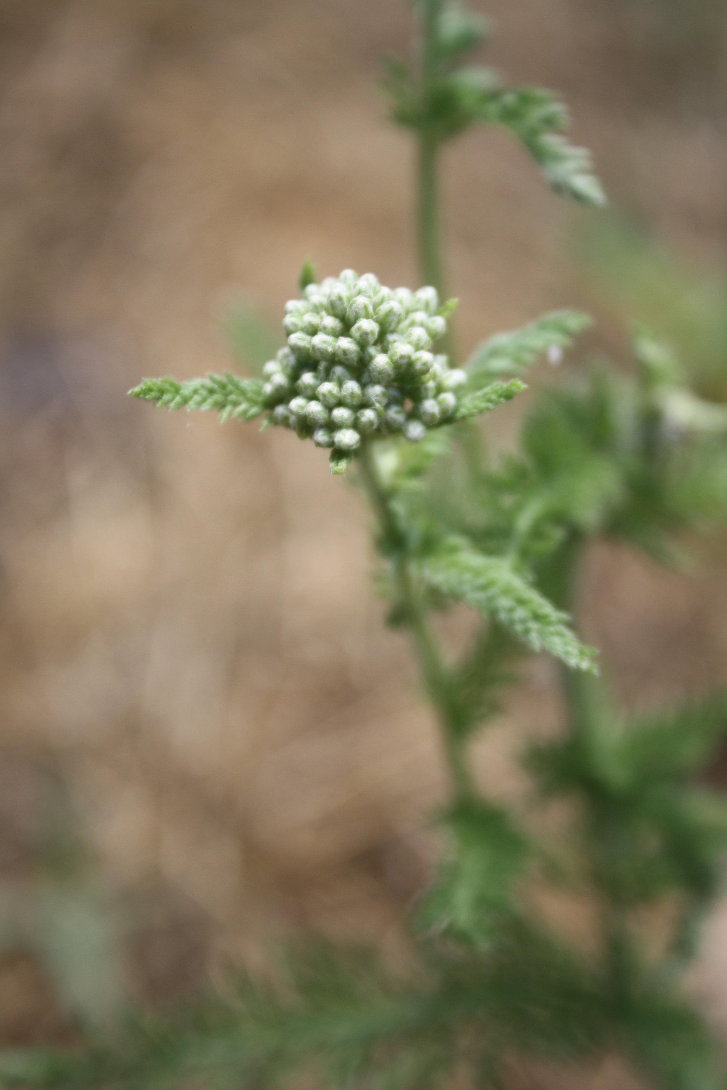 Pre-Bloom Yarrow