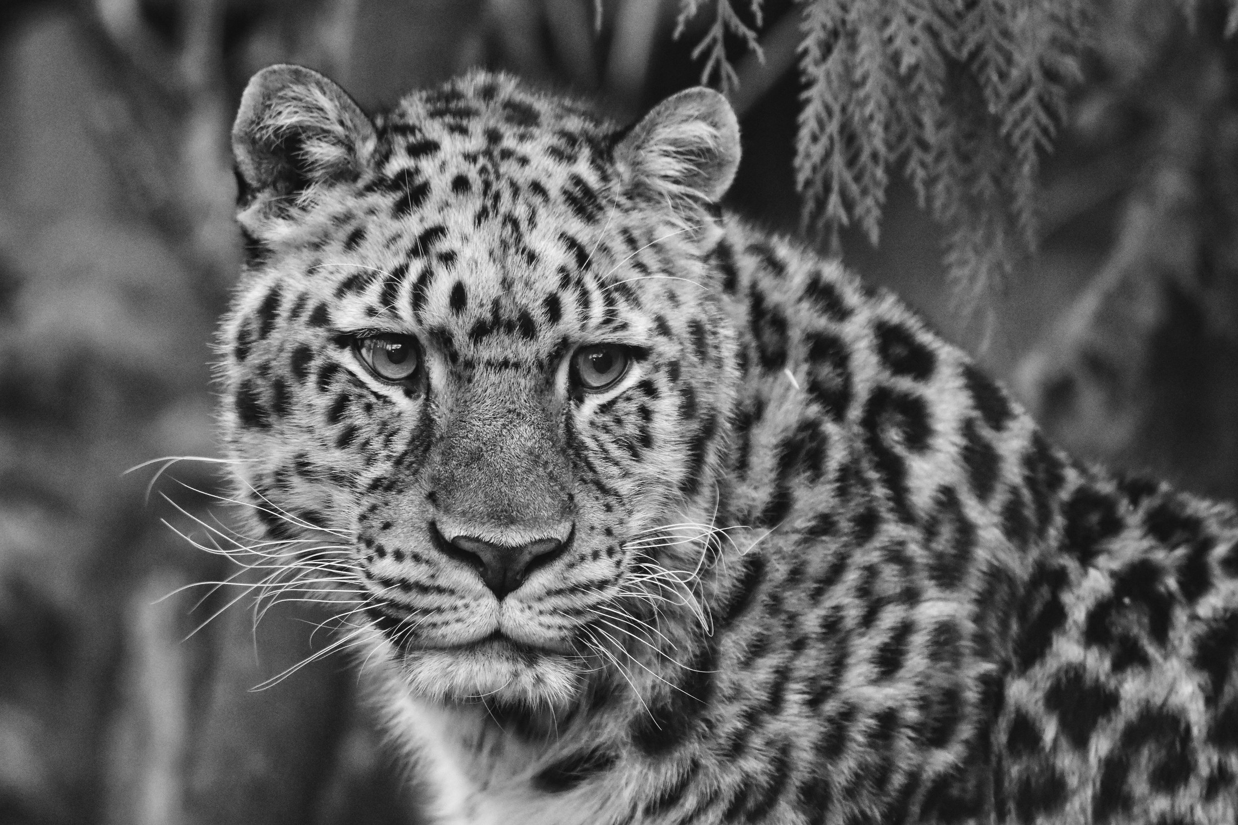 Amur Leopard at the Oregon Zoo