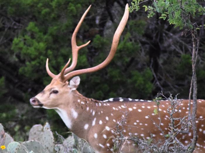 Axis Deer -