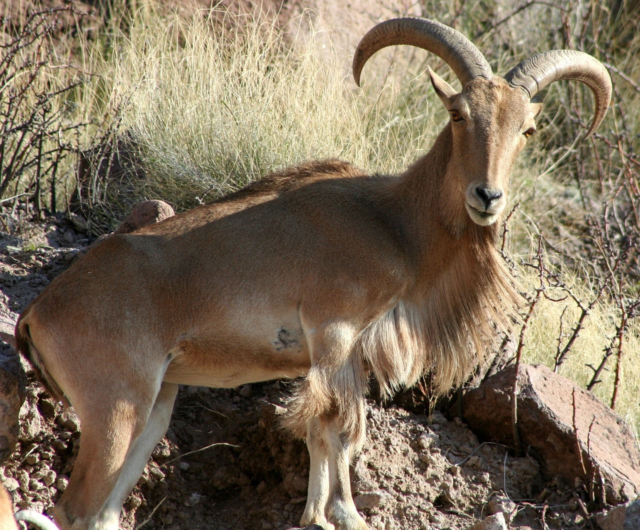 barbary-sheep-1569275_1280.jpg