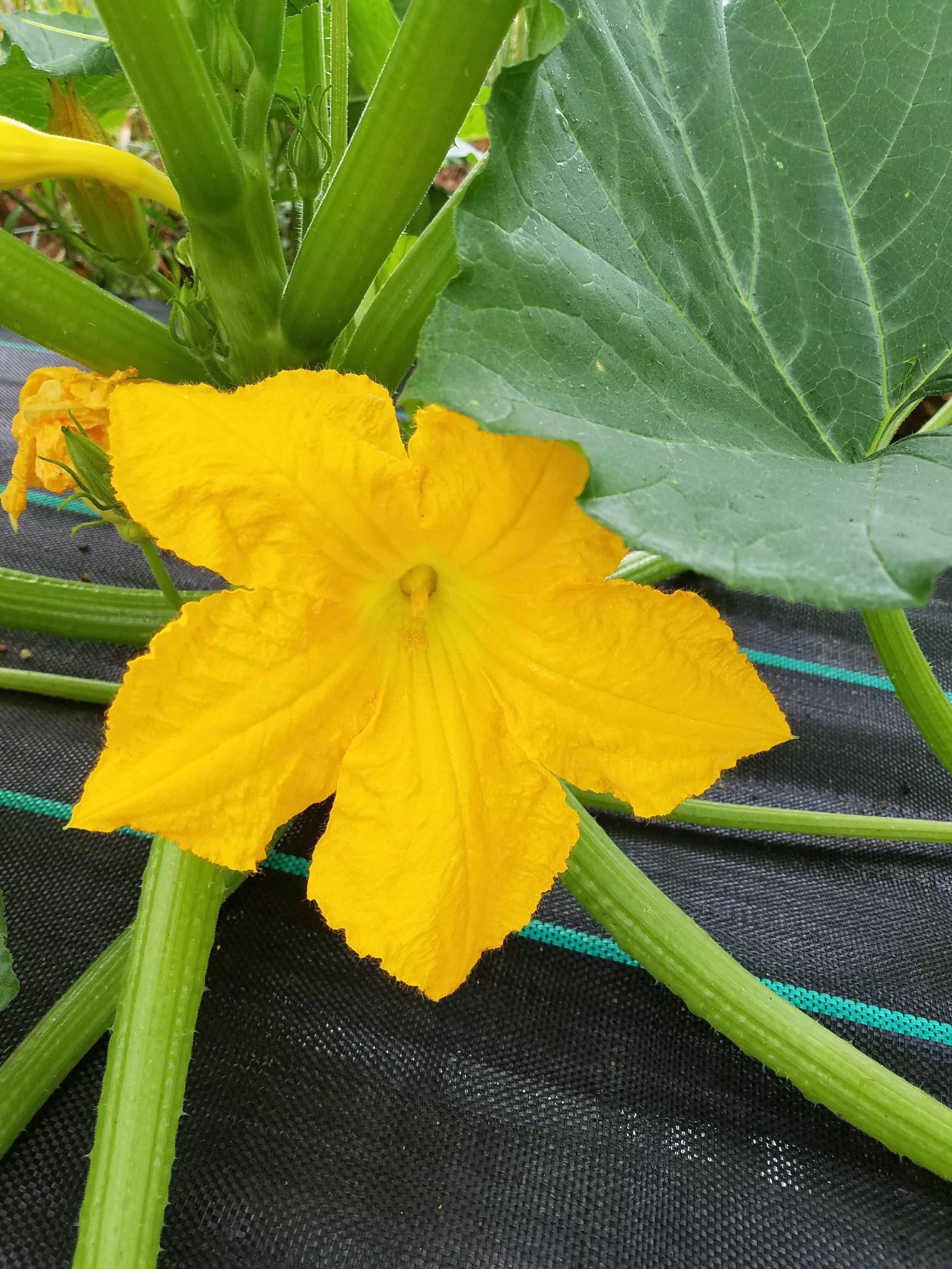Squash Blossom.jpg