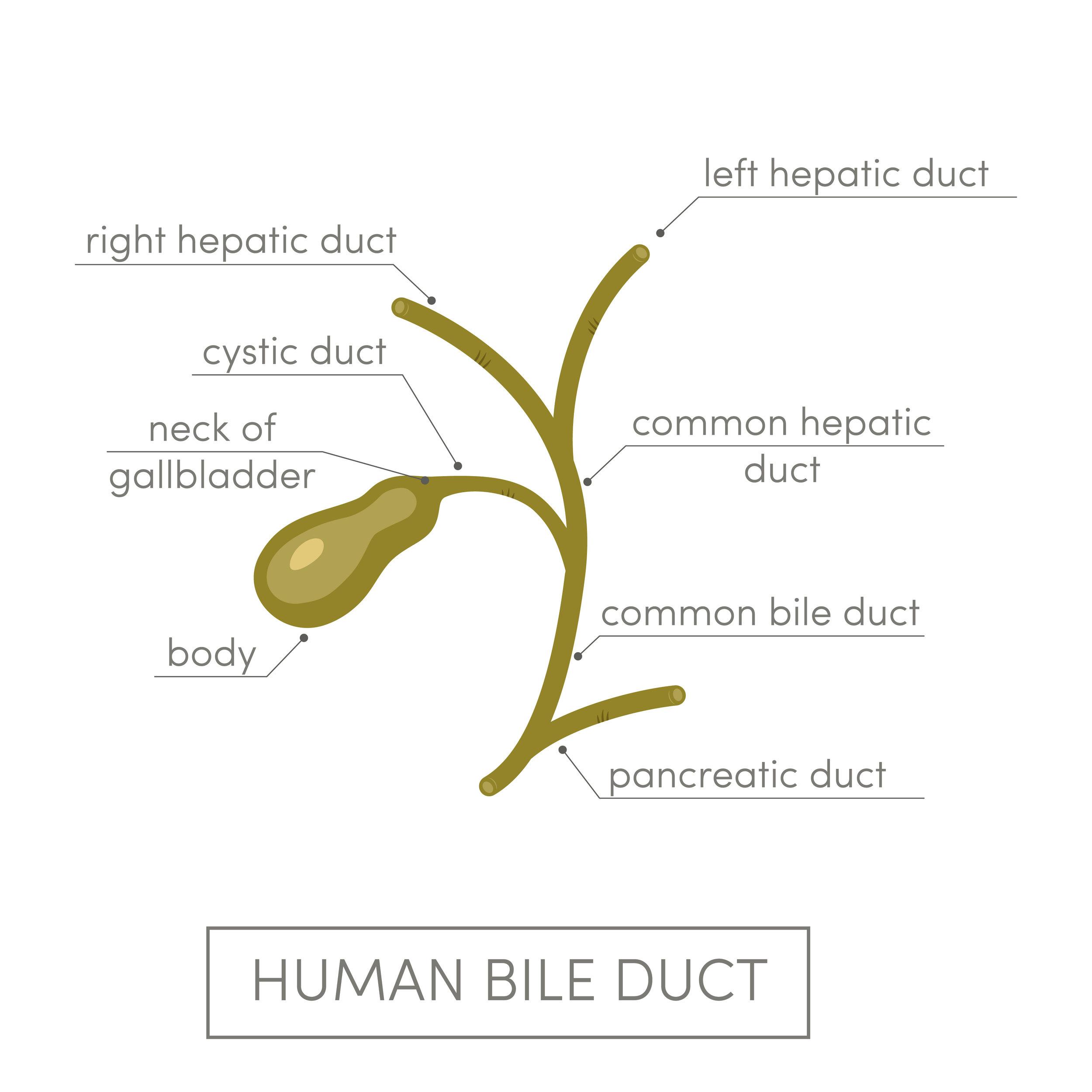 human-bile-duct