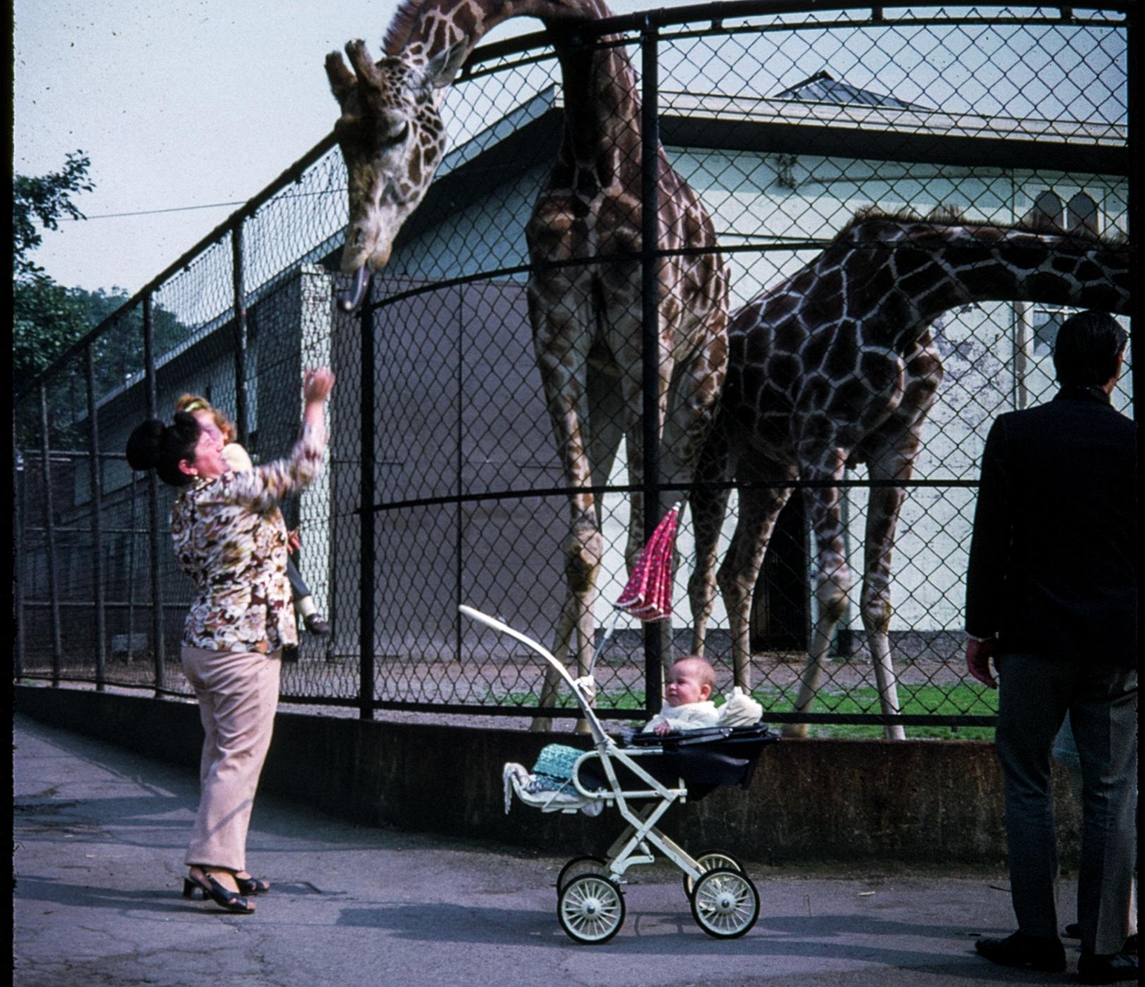 1970s giraffe zoo