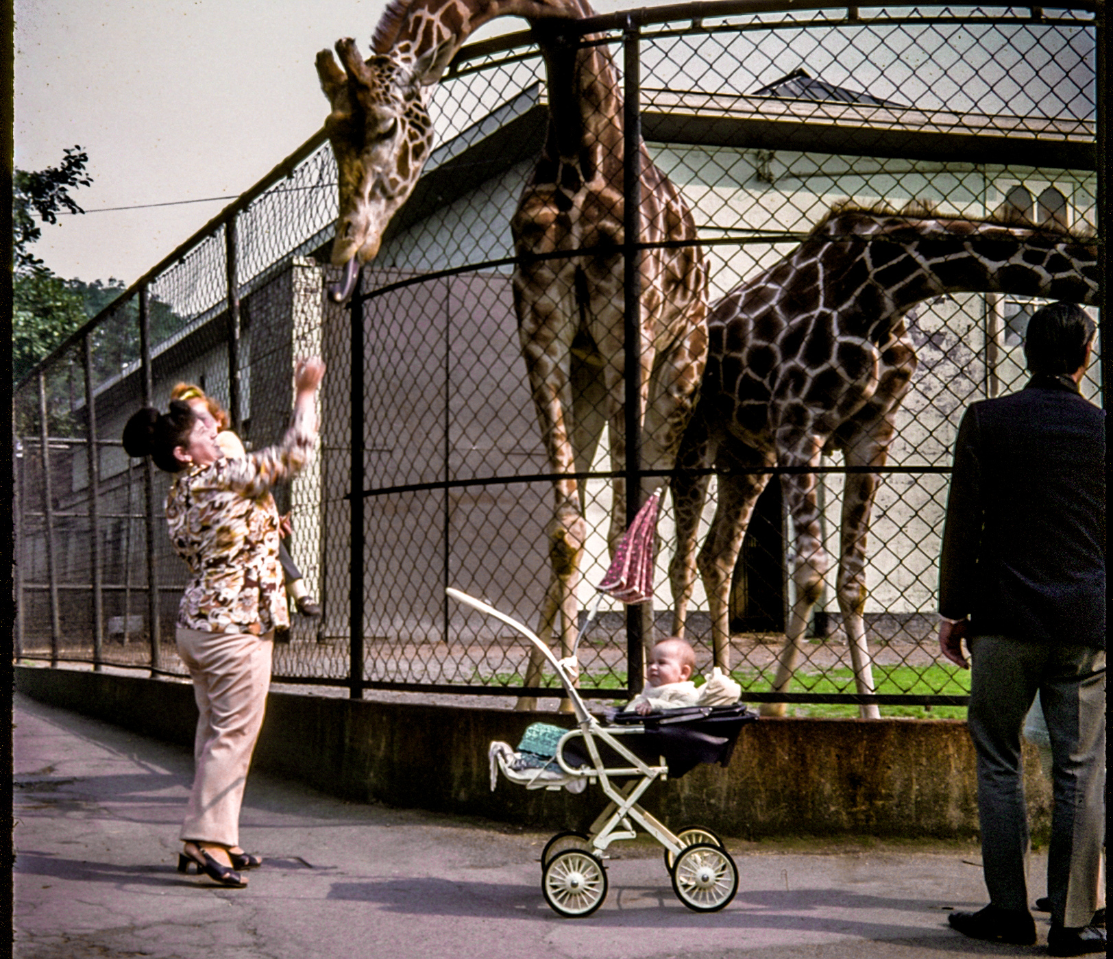 1970s giraffe zoo restored