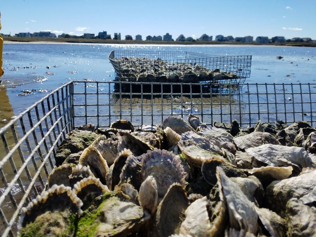 - The trays in which Watch Hill oysters are grown are custom made and designed, anchoring them to the hard packed sand of the pond floor. Pairing these elevated trays with a 3 foot tide rarely exceeding 5 feet surrounds the oyster with a constant flow of food rich water while also keeping them virtually free of sand and grit.
