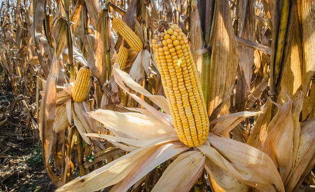 Age of Ecology - David Attenborough's favorite environmental essays - corn on stalk