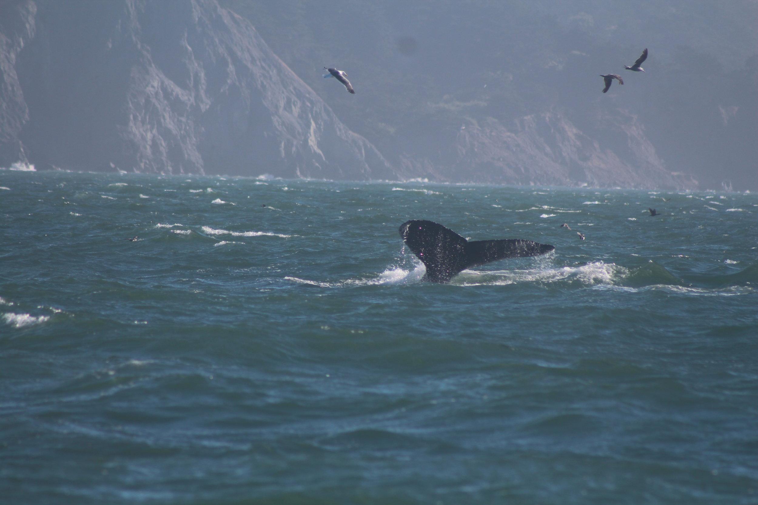 SF Whale Tours July 20th 2017 869.JPG