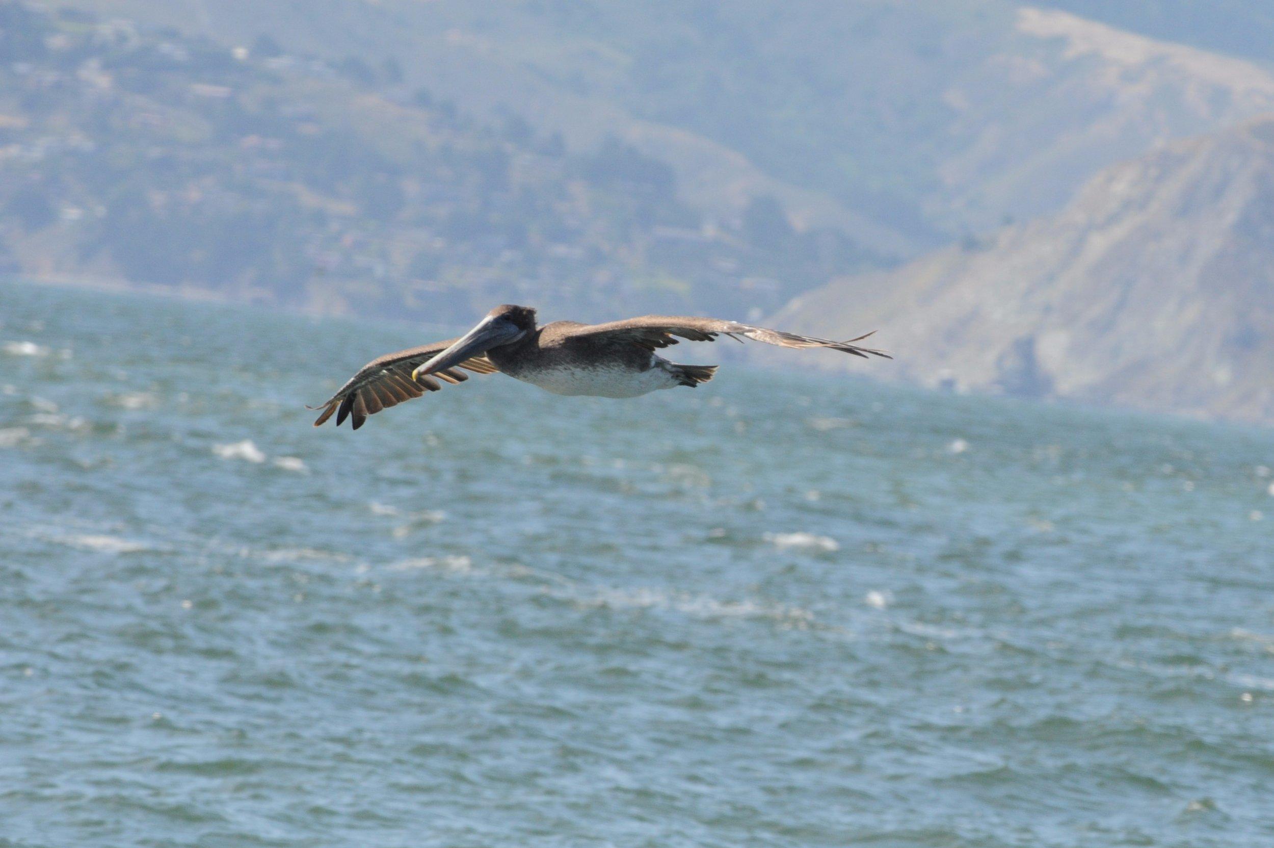 Brown pelican in flight.