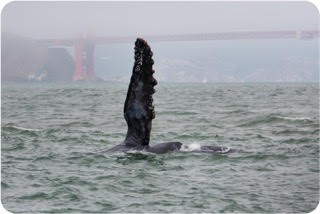 A pectoral fin poised to slap, with the Golden Gate Bridge in the Background. Photo by passenger Jenete Klein.