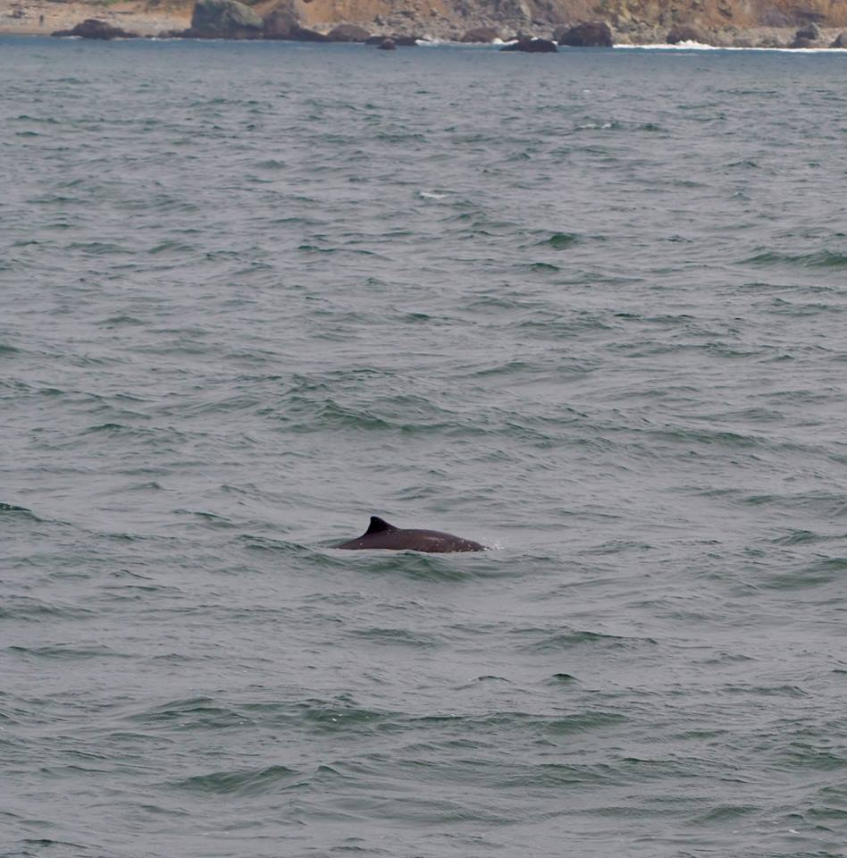 Harbor porpoise! They are fast and shy, so it's pretty difficult to get pictures of them. Photo by Kat Nazar.