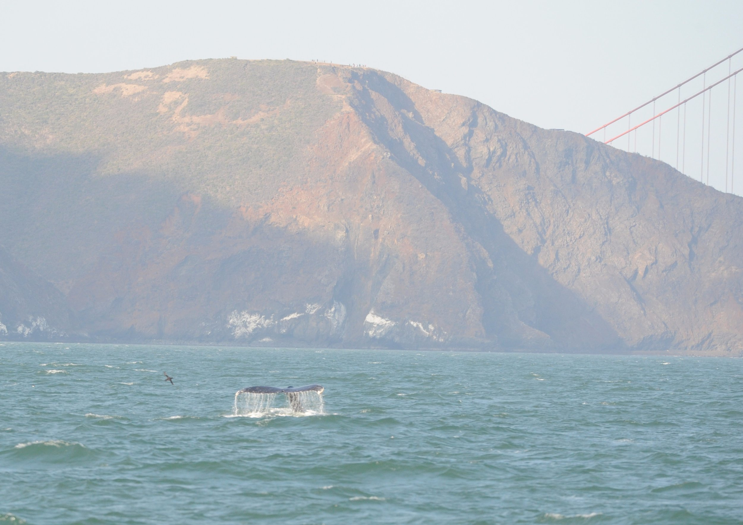 Humpback whale fluke with the edge of the Golden Gate Bridge in the background.