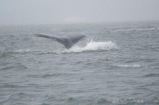 Humpback fluke.Photo by passengers Duncan and Catriona Lemetti.