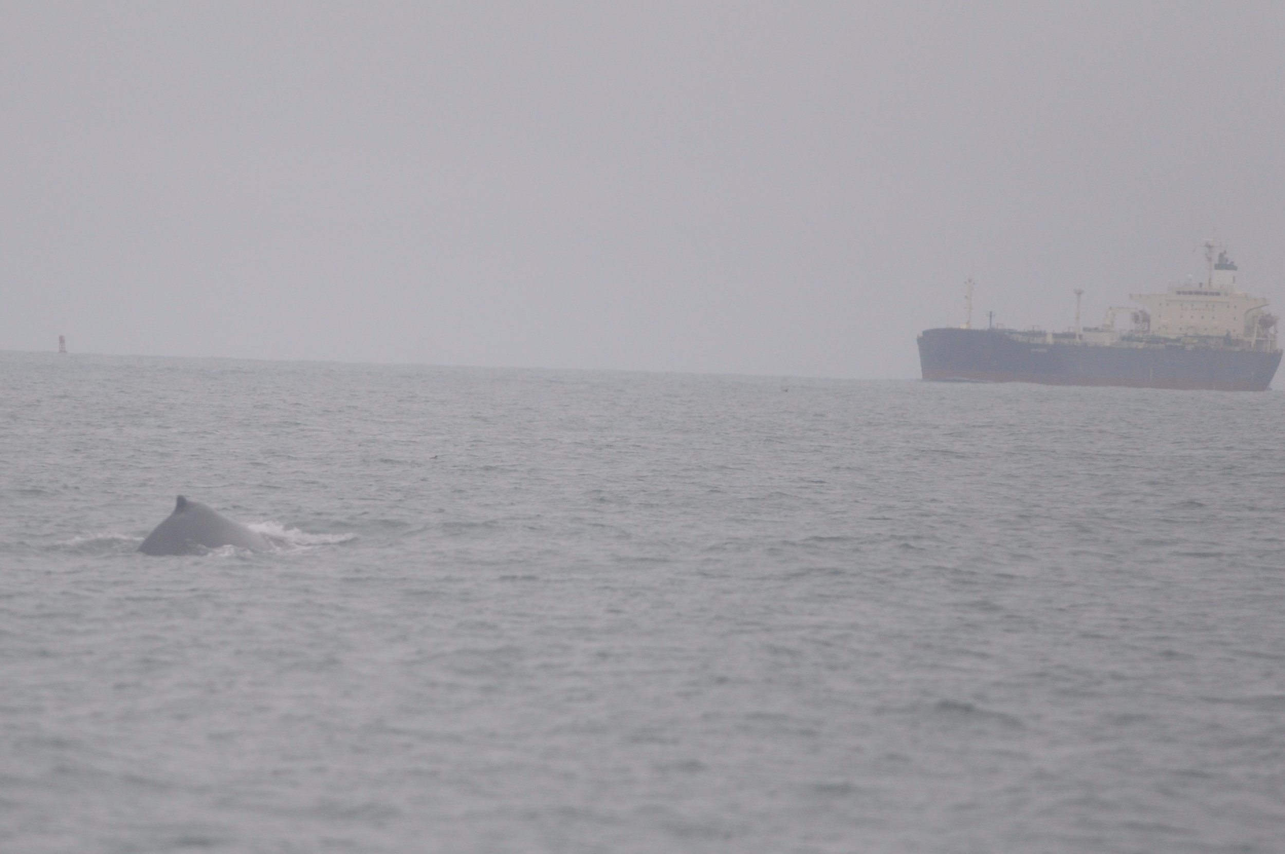 Humpback whale doing shallow dives as a large ship approaches San Francisco.