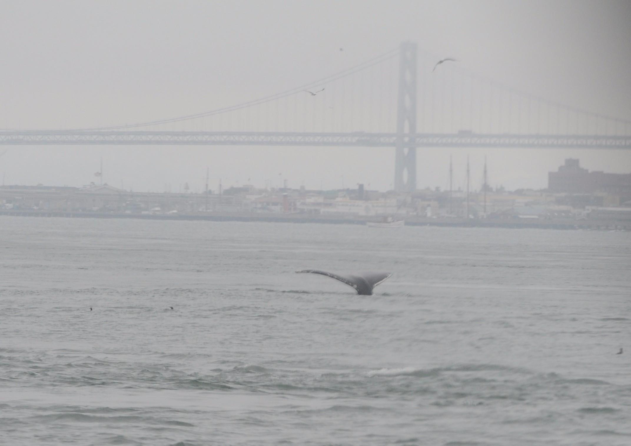 Humpback fluke with Bay Bridge in the background.