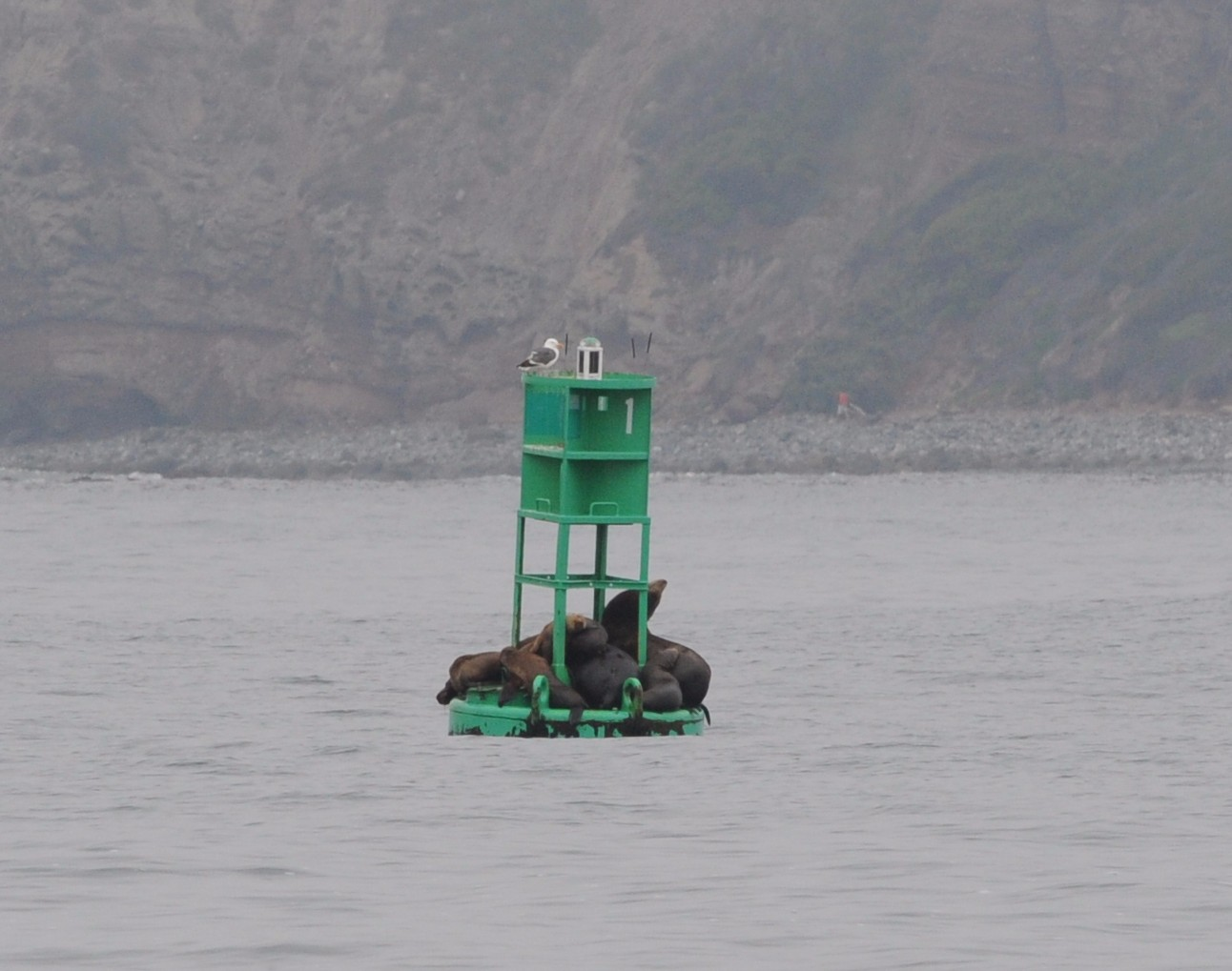 California sea lions rest on a buoy.