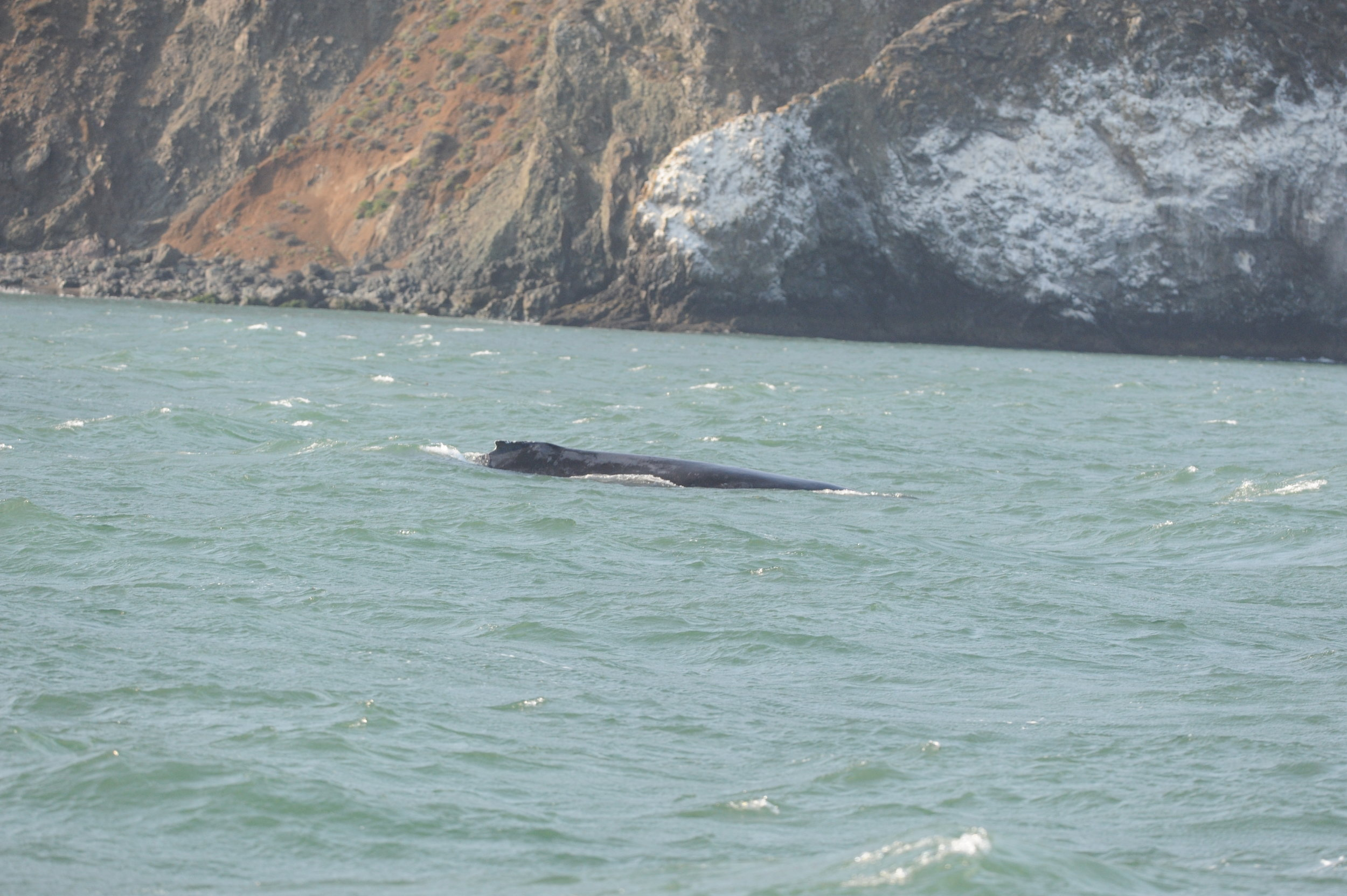 Humpback whale near Diablo Cove.