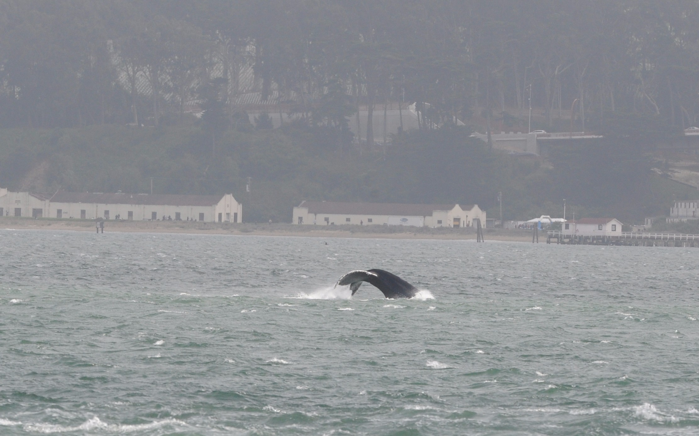 Humpback fluke in front of Crissy Field.