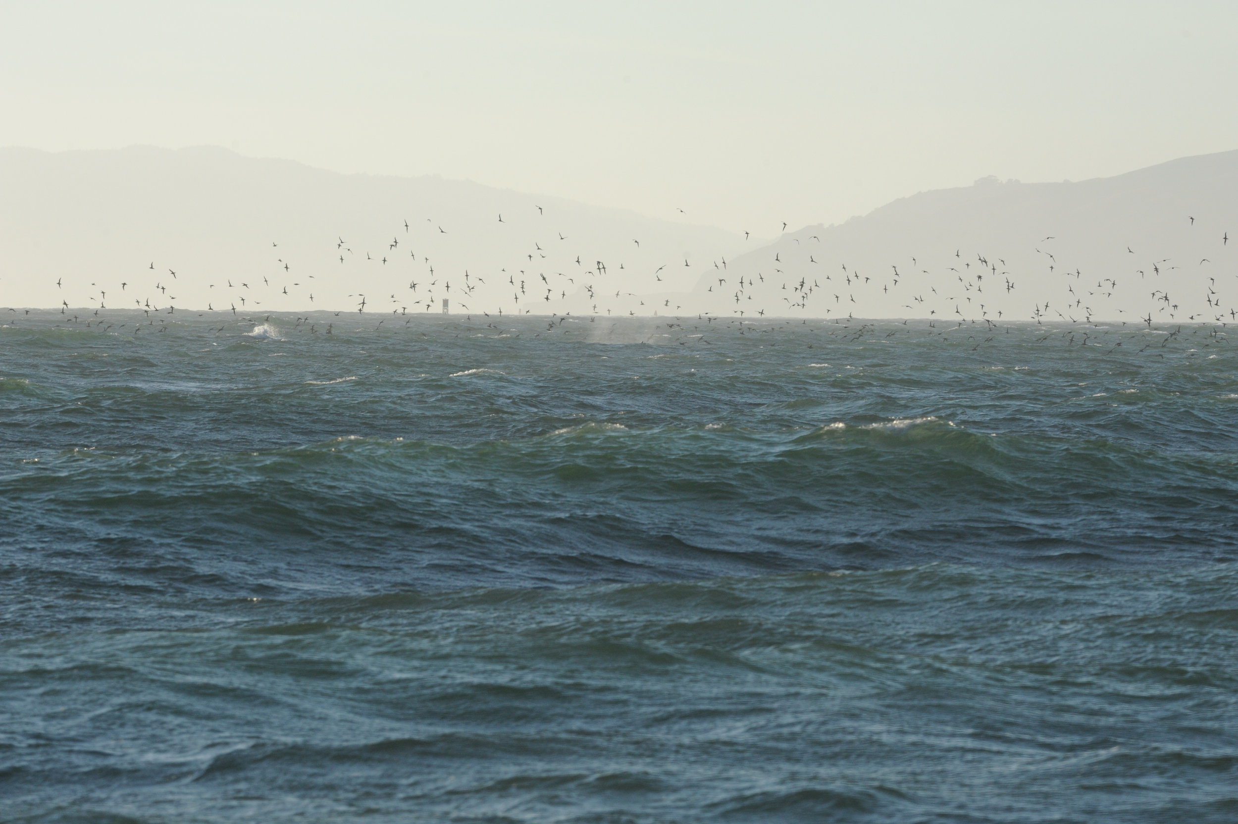 Whale spout surrounded by shearwaters.