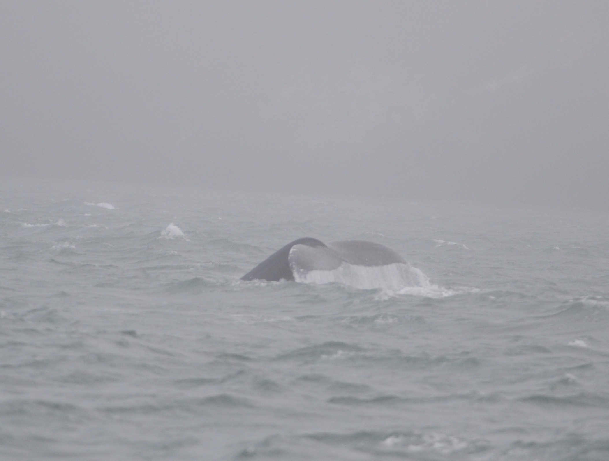 Humpback fluke in the fog.