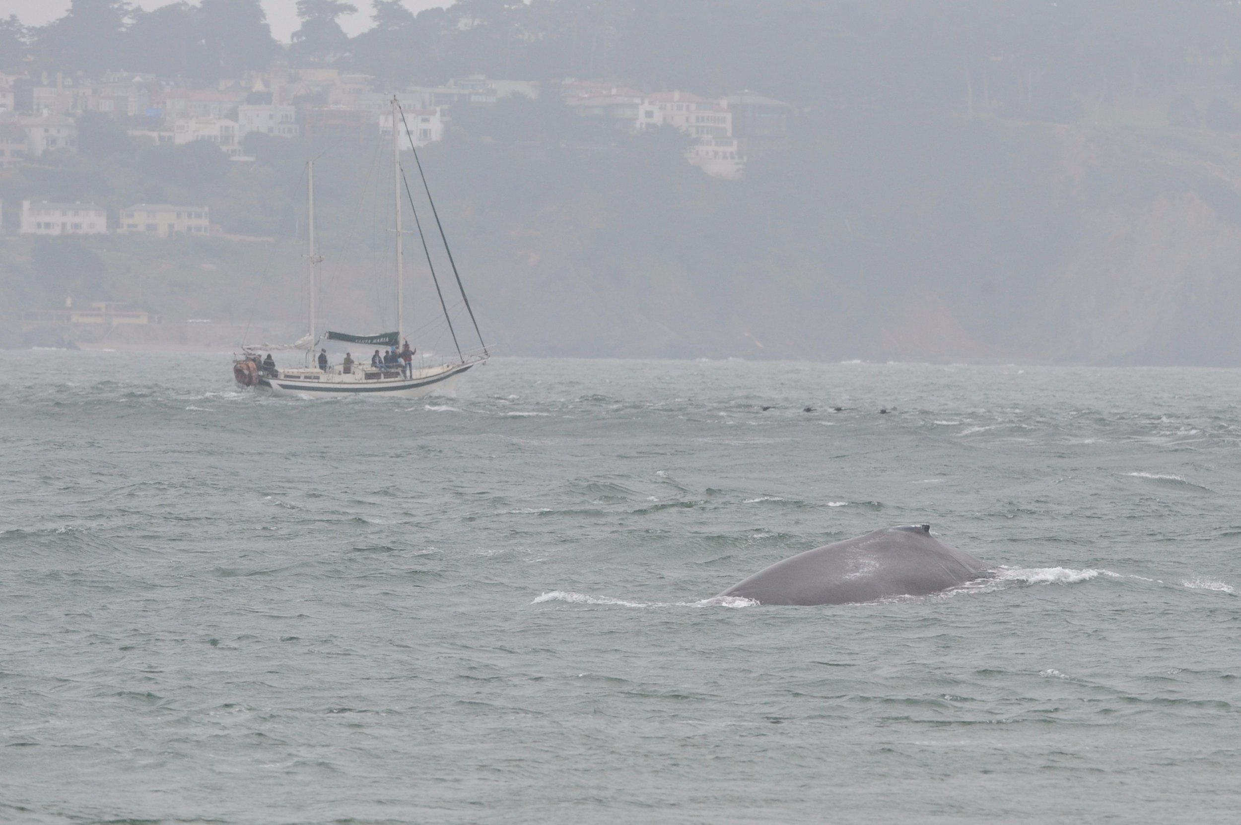 Humpback near a sailboat.