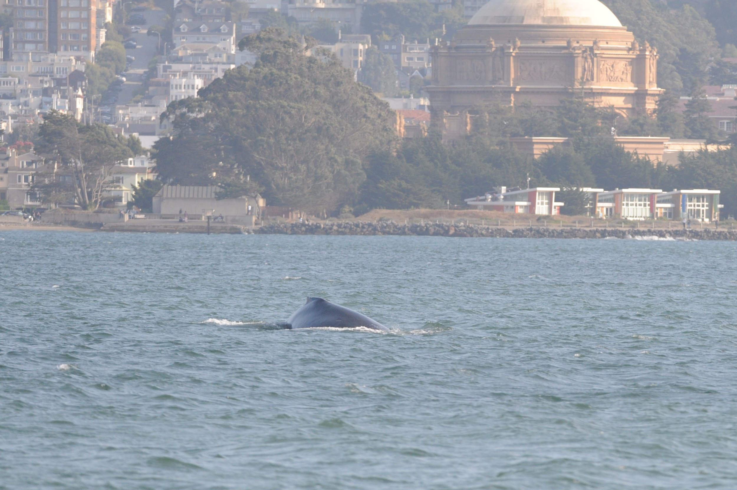 Whale surfacing near the Palace of Fine Arts.