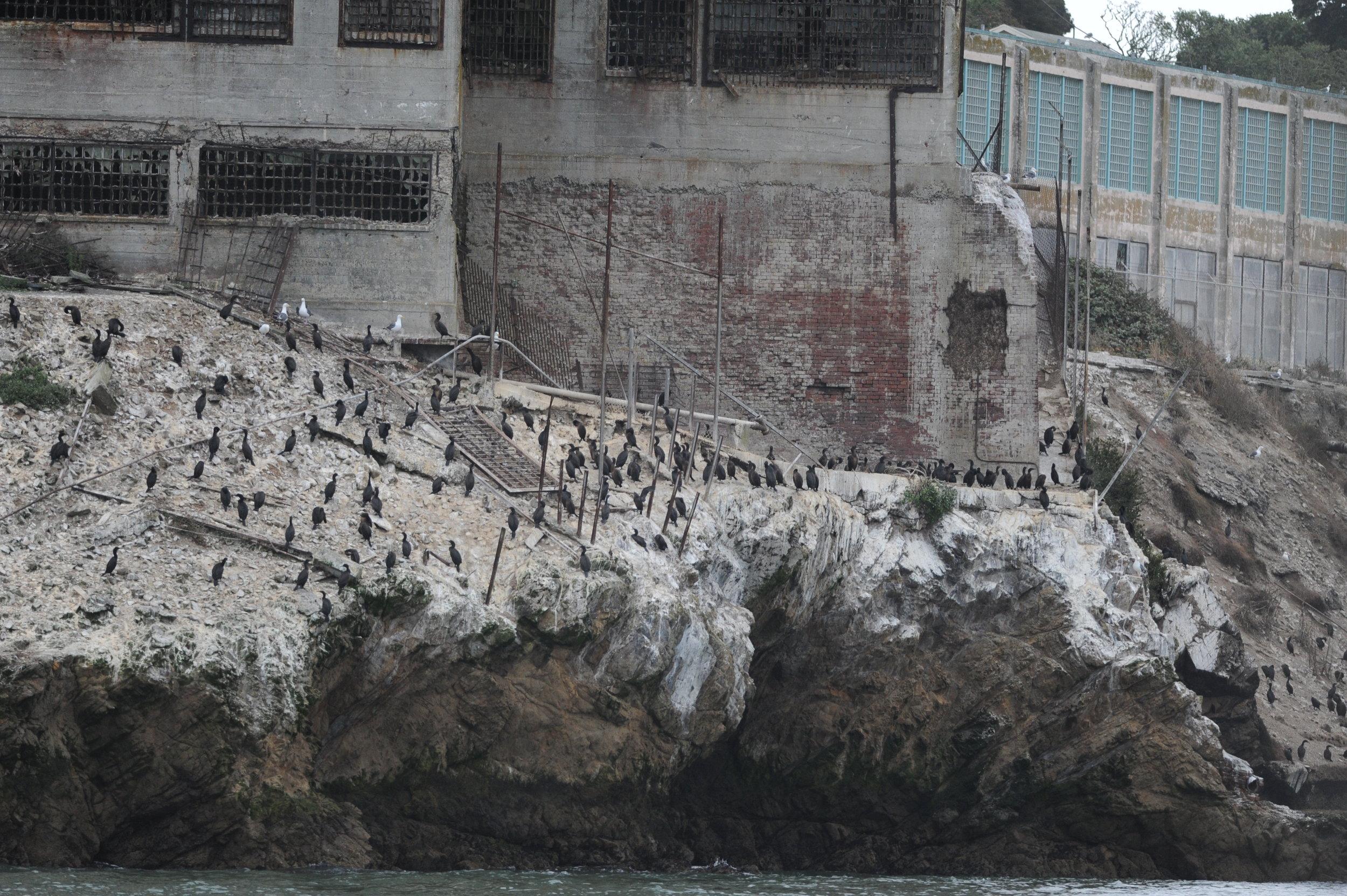 Cormorants on Alcatraz.