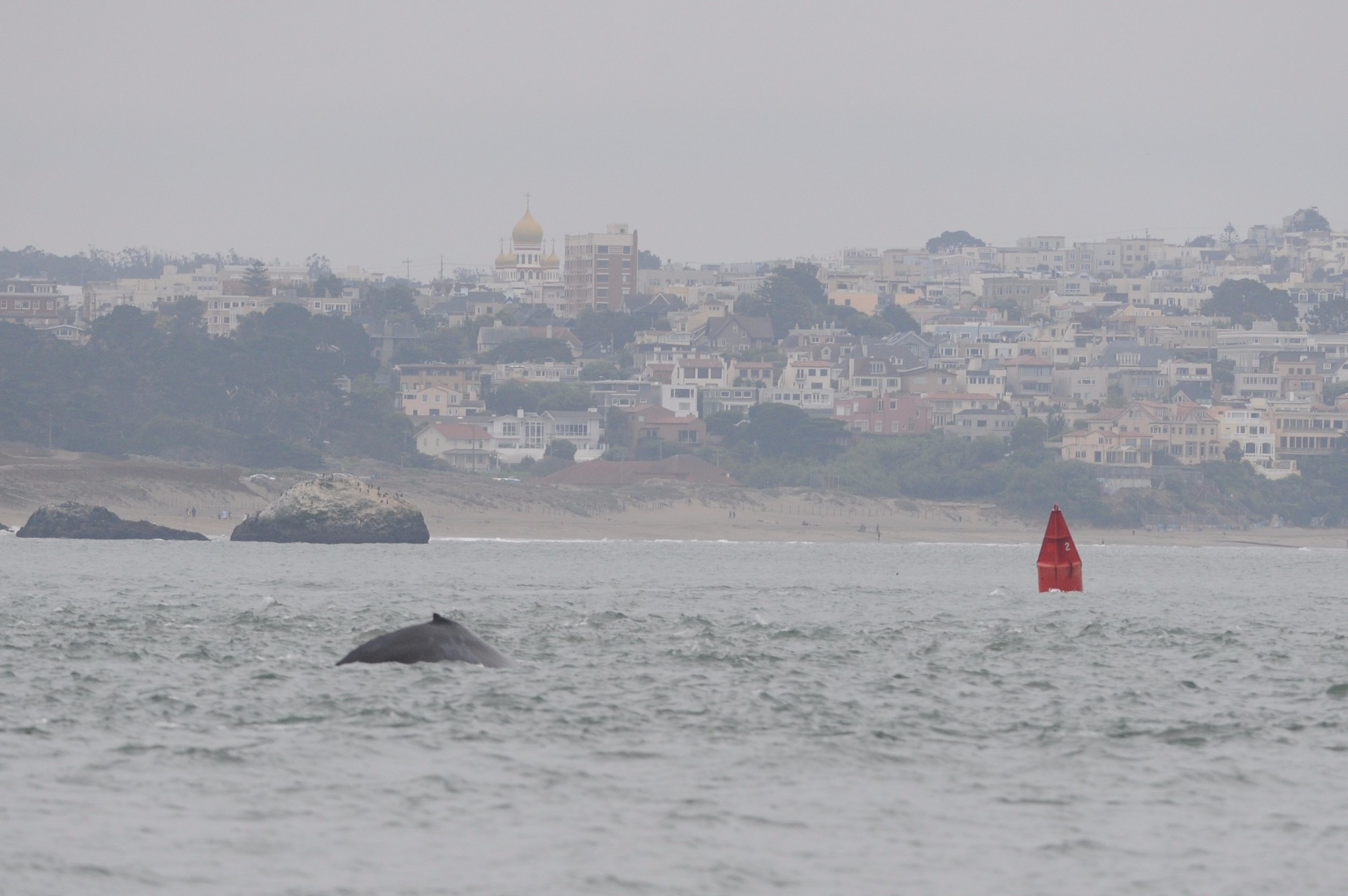 Humpback in front of Baker Beach.