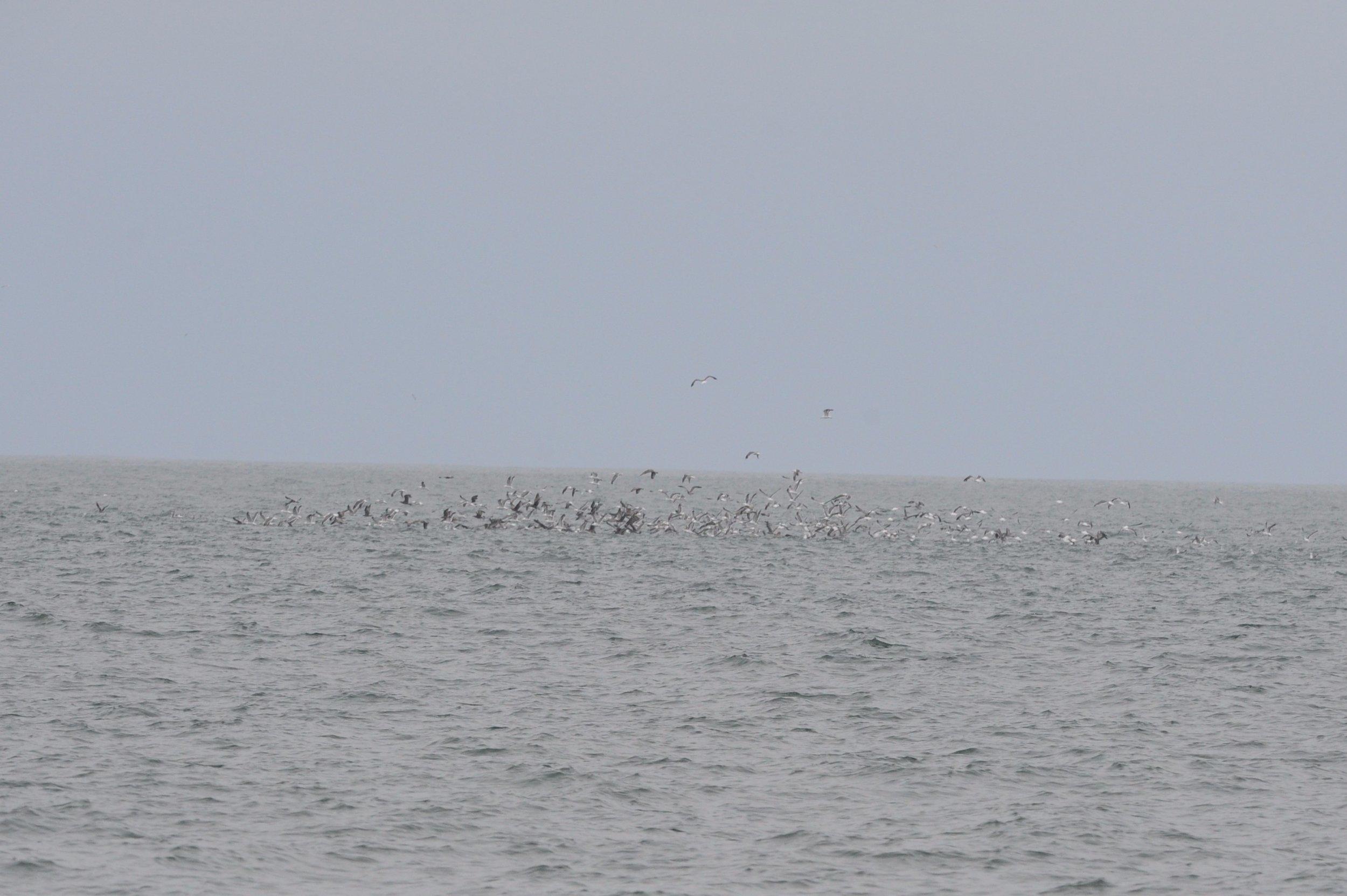 Birds feeding on the tide line.