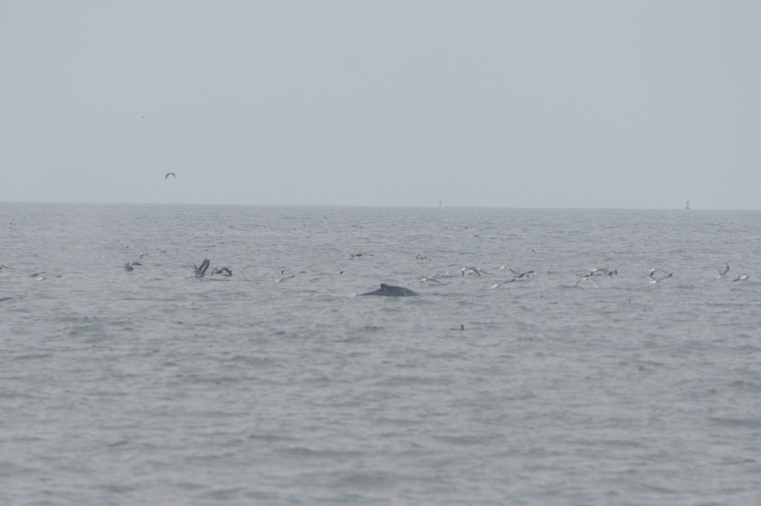 Whale surfacing in a large group of birds.
